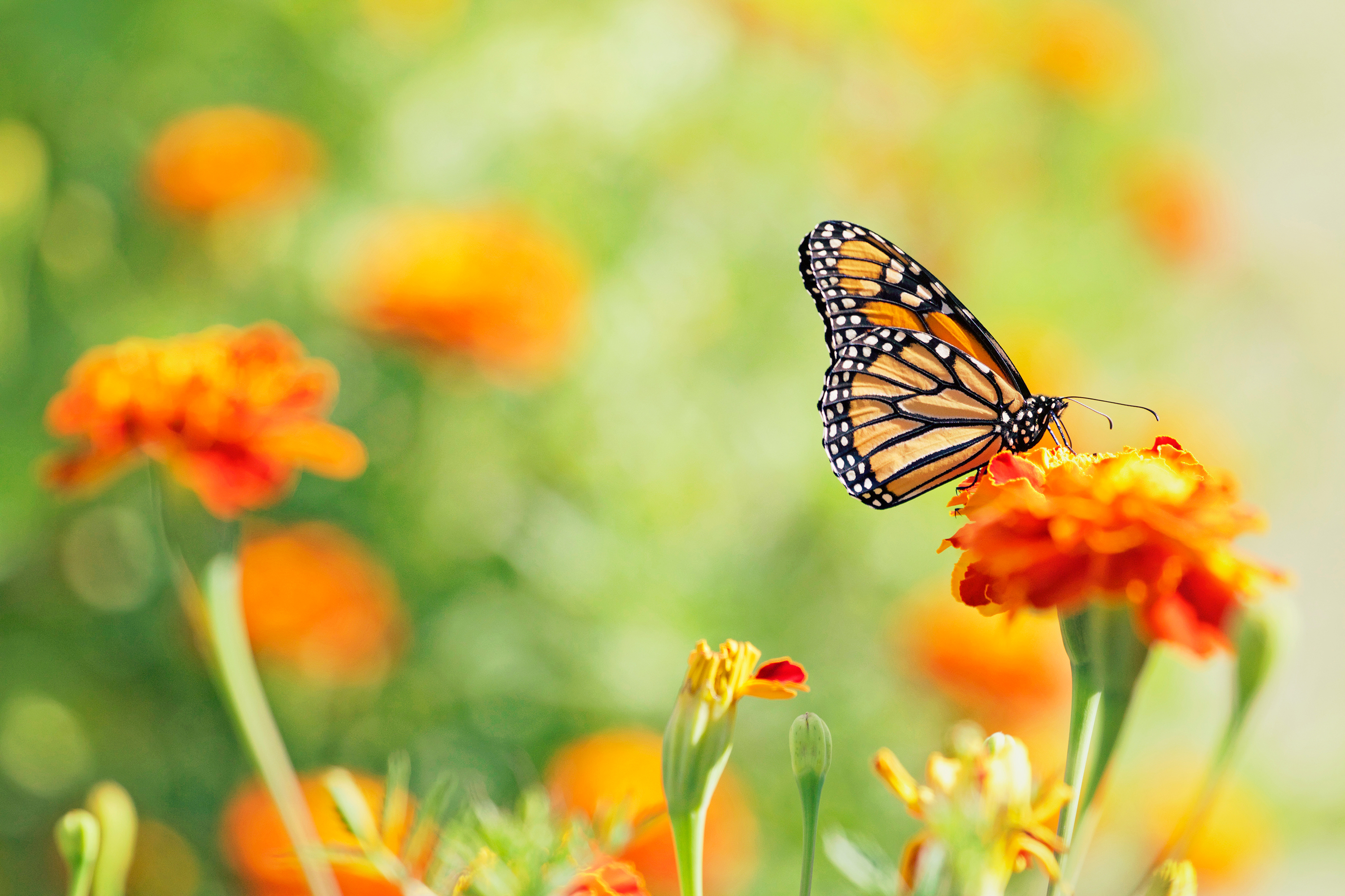 Snap a Photo and You Can Help Researchers Track Monarch Butterflies