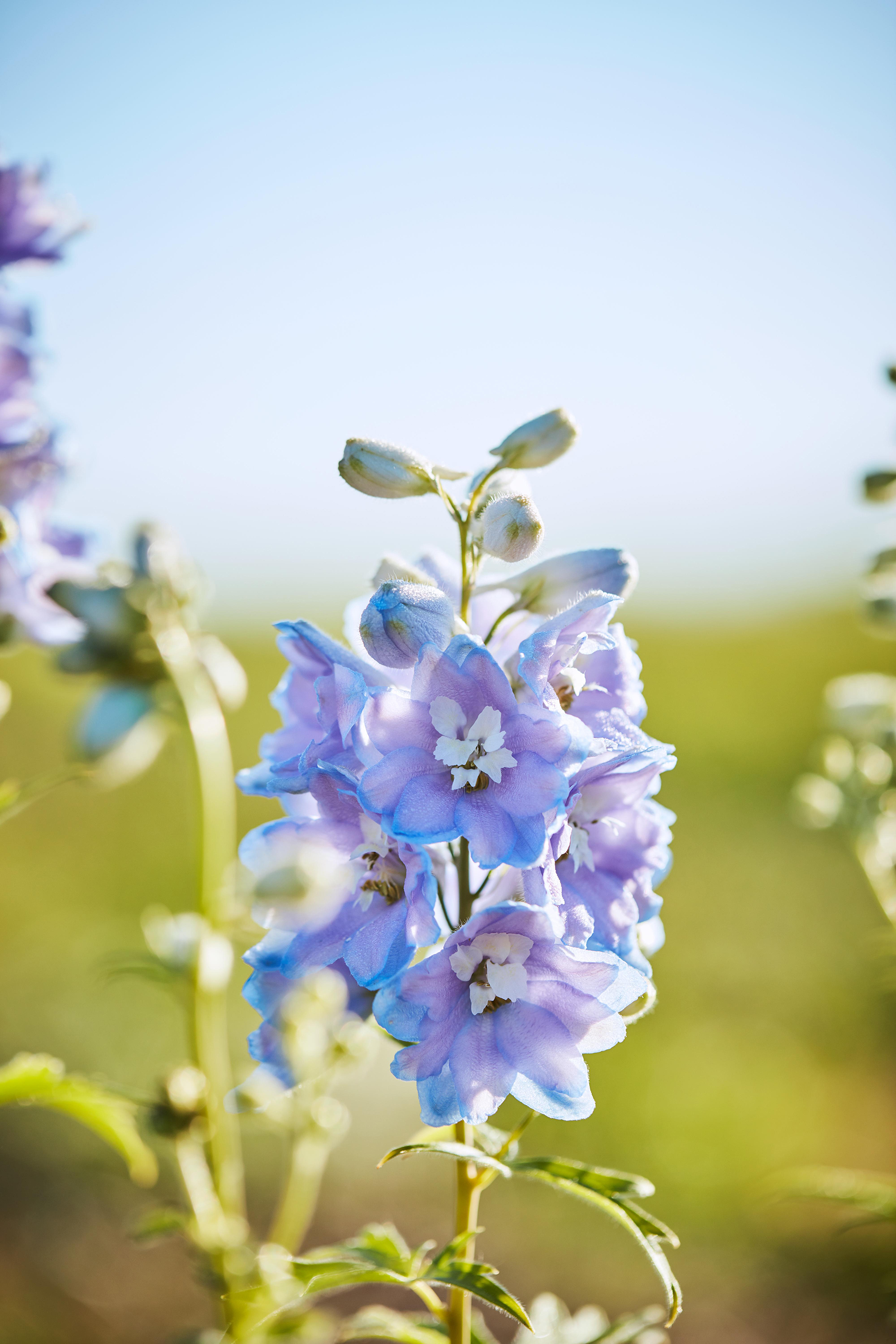 Delphinium flower in wild garden farm
