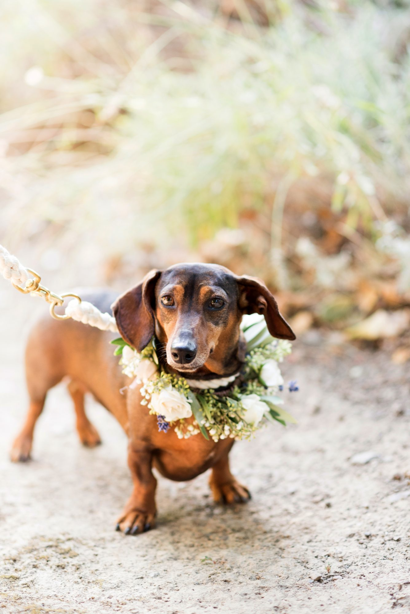couples brown wiener dog wearing floral collar for ceremony
