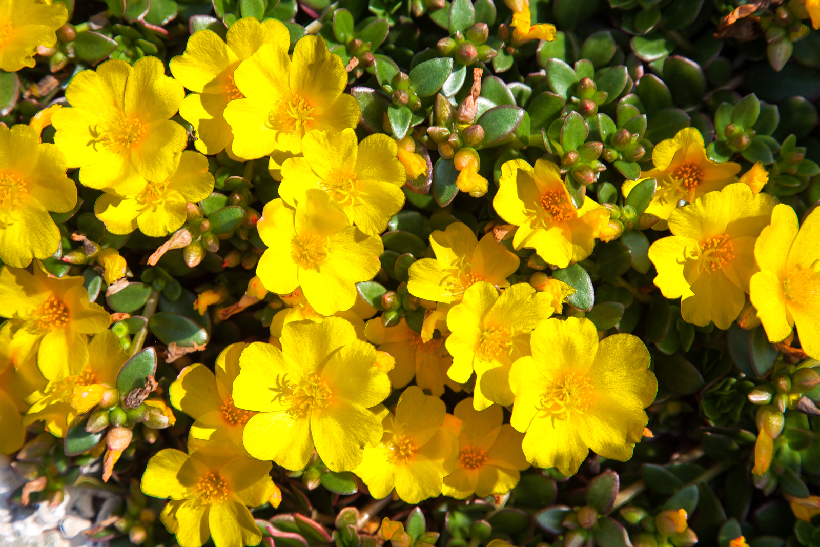 common purslane yellow floral weed
