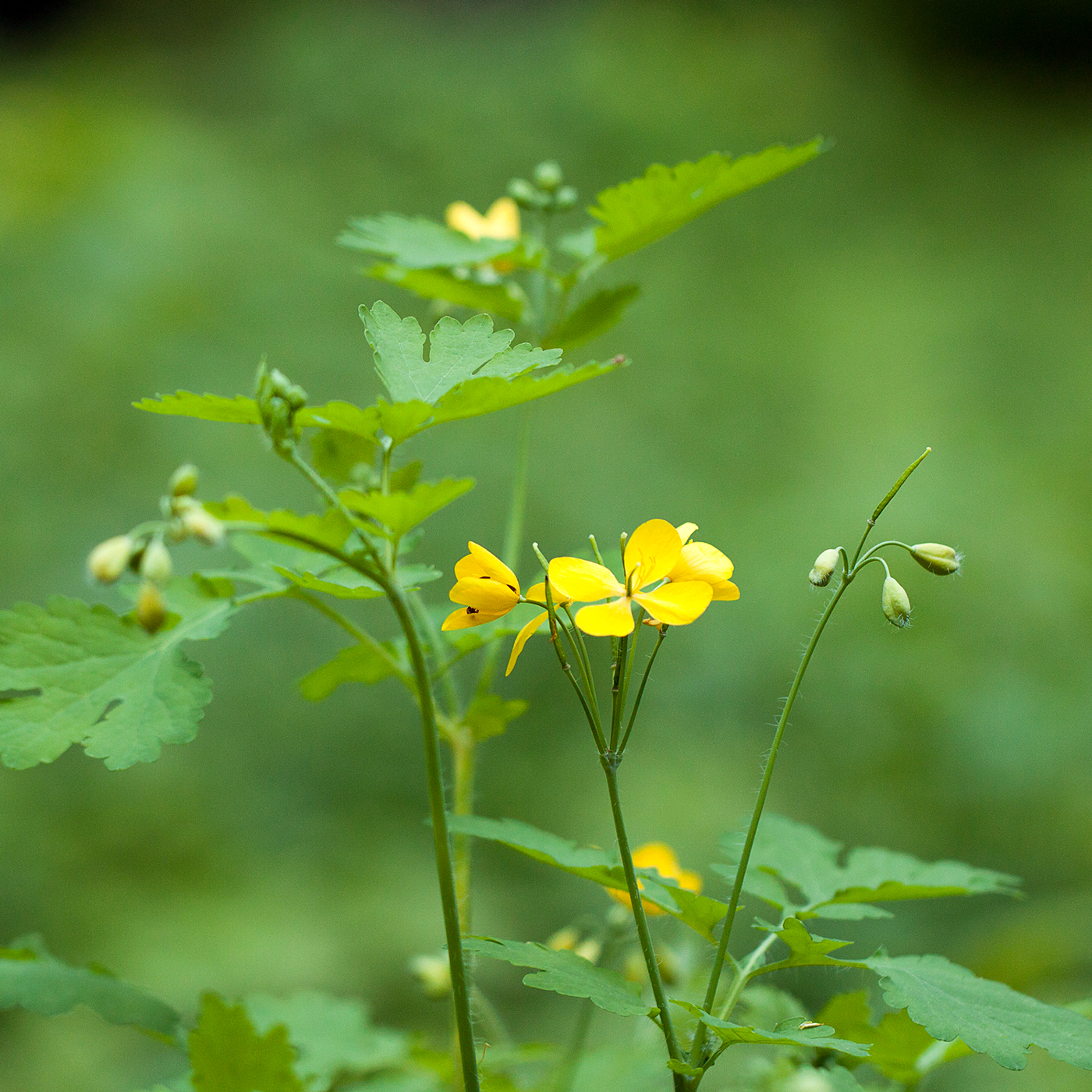 celandine yellow floral weed