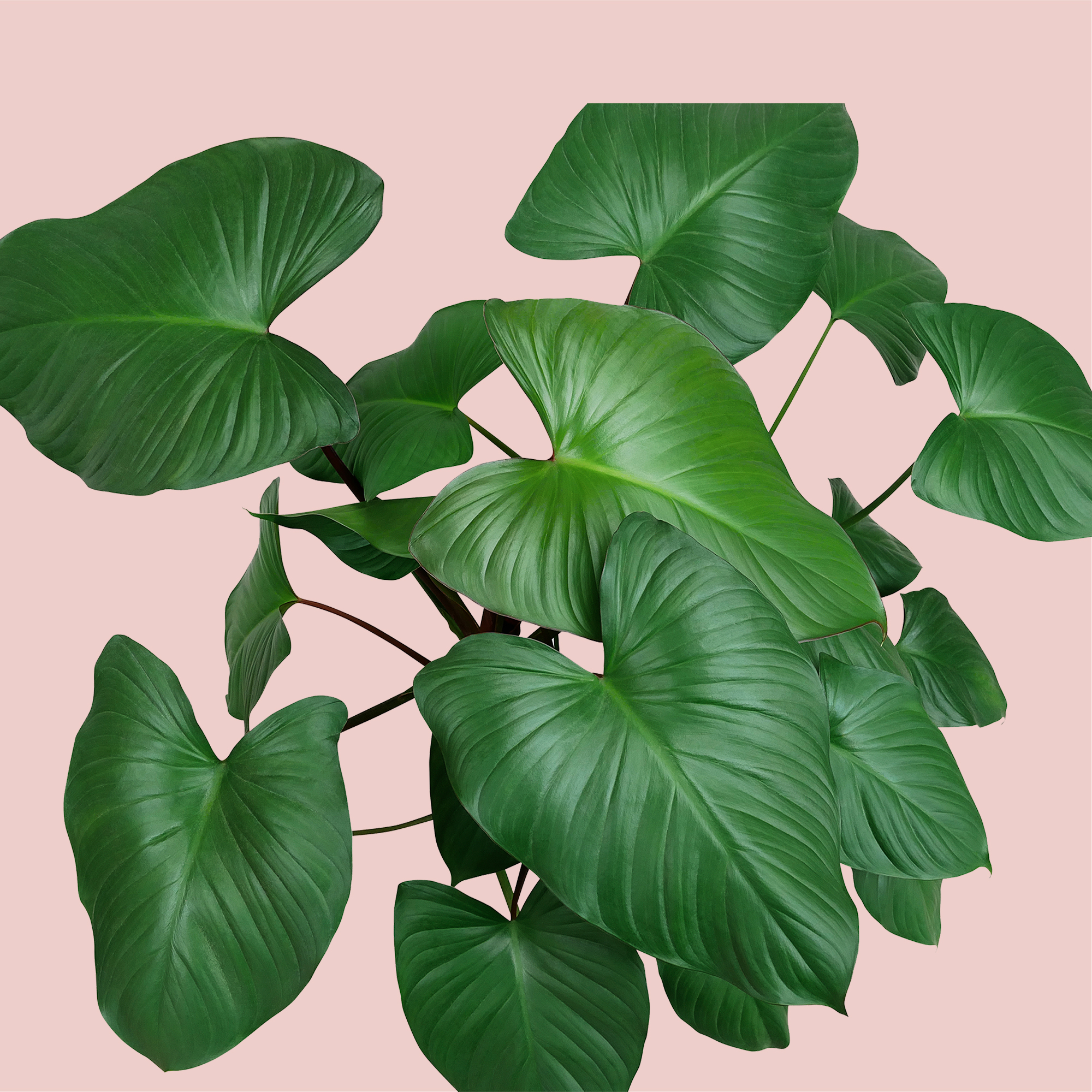 Philodendron Flower Hanging Plant