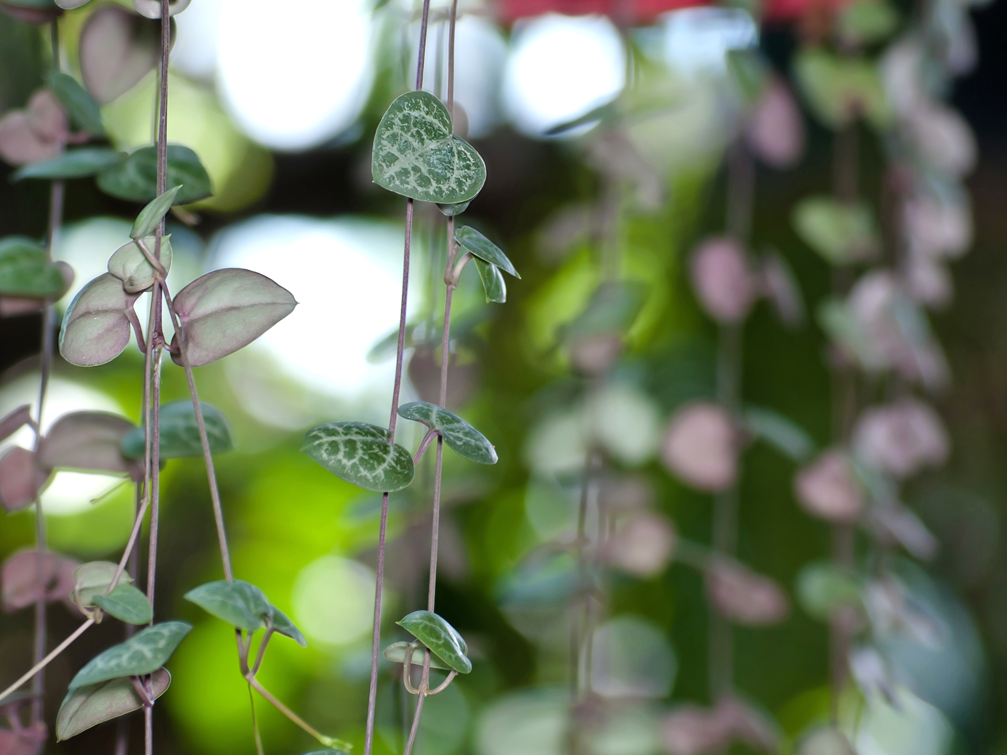 string of hearts vines hanging plant