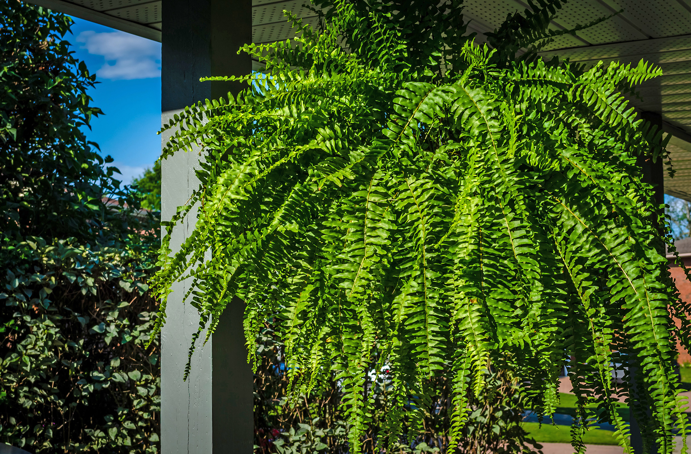 Shade-Friendly Ferns
