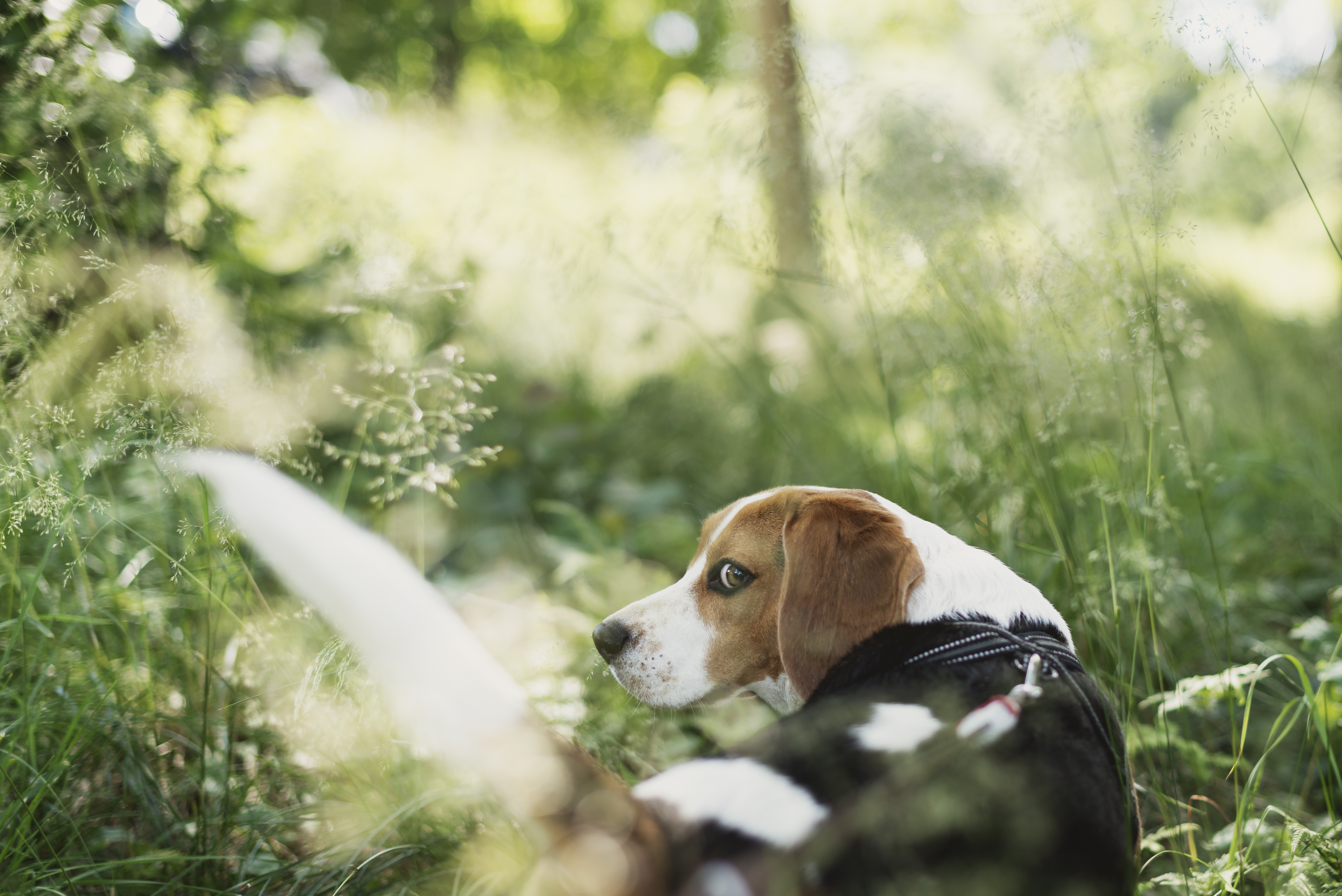 beagle dog walking out in the grass