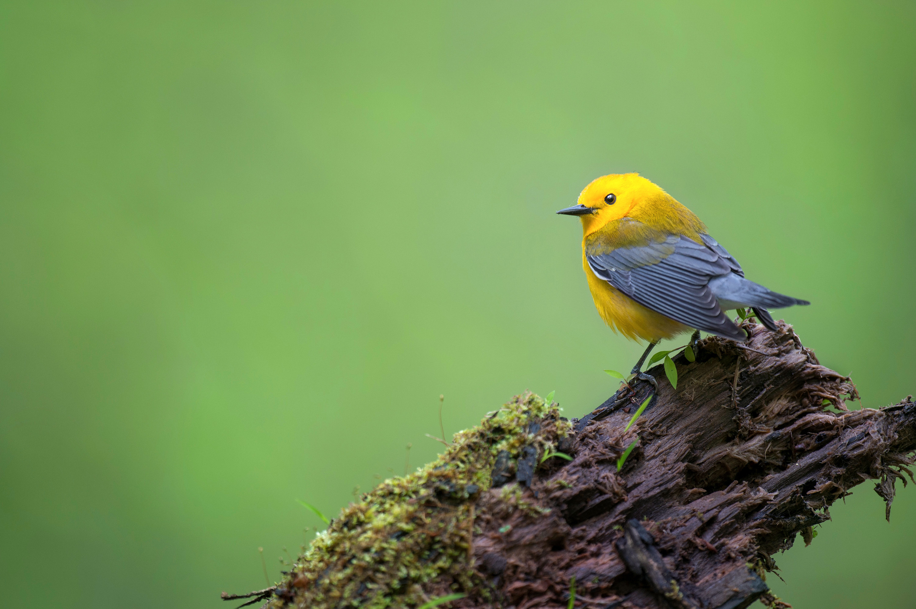 prothonotary warbler bird