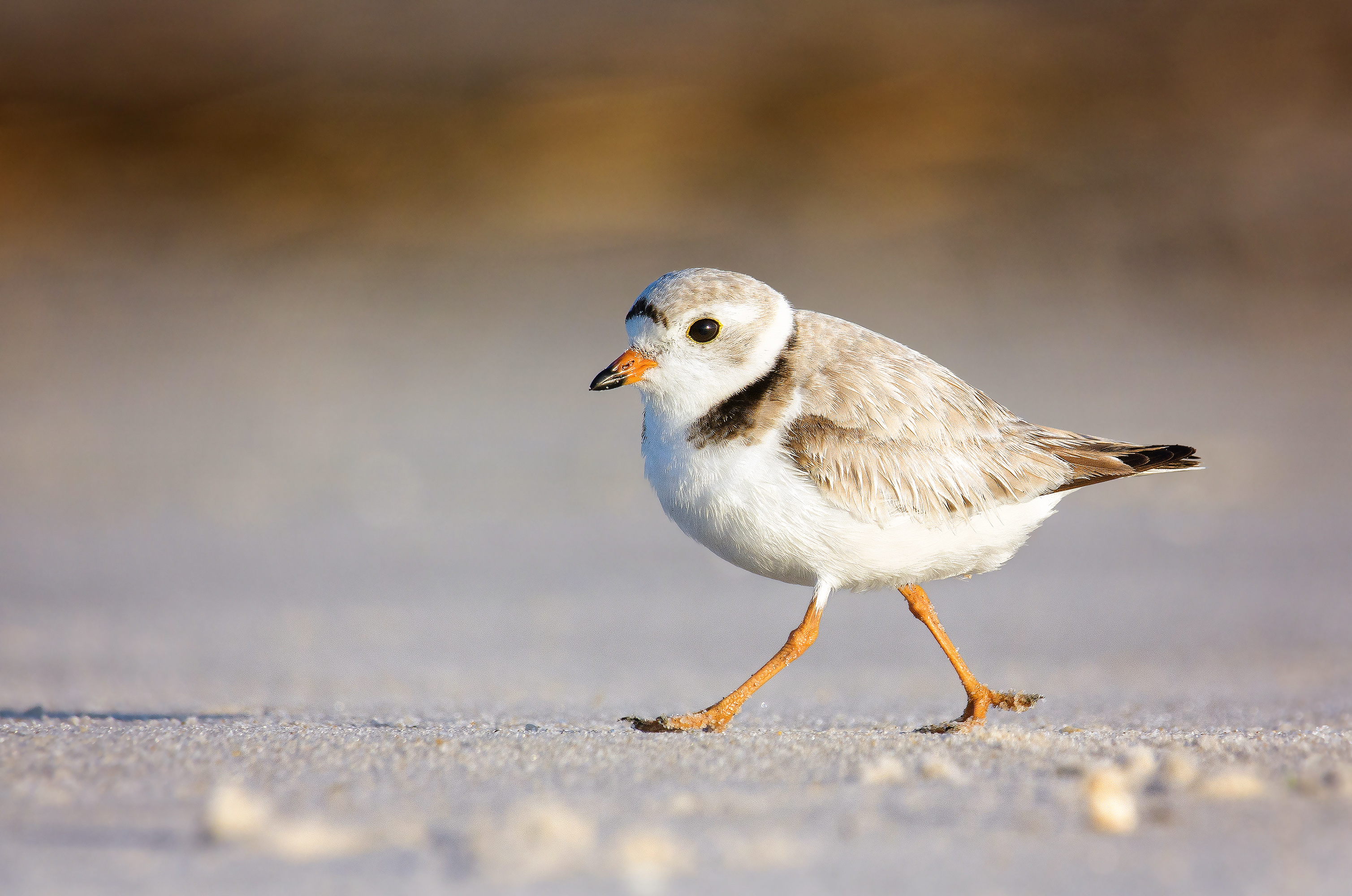 adult piping plover walking in sand