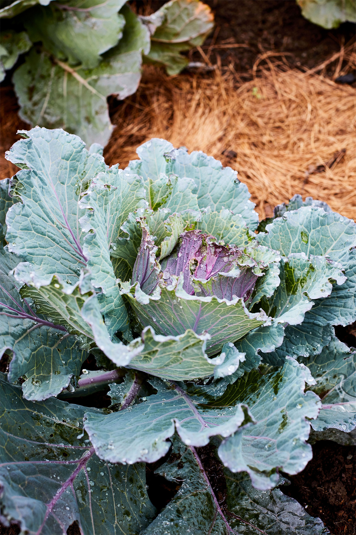 caraflex deadon cabbage with water droplets