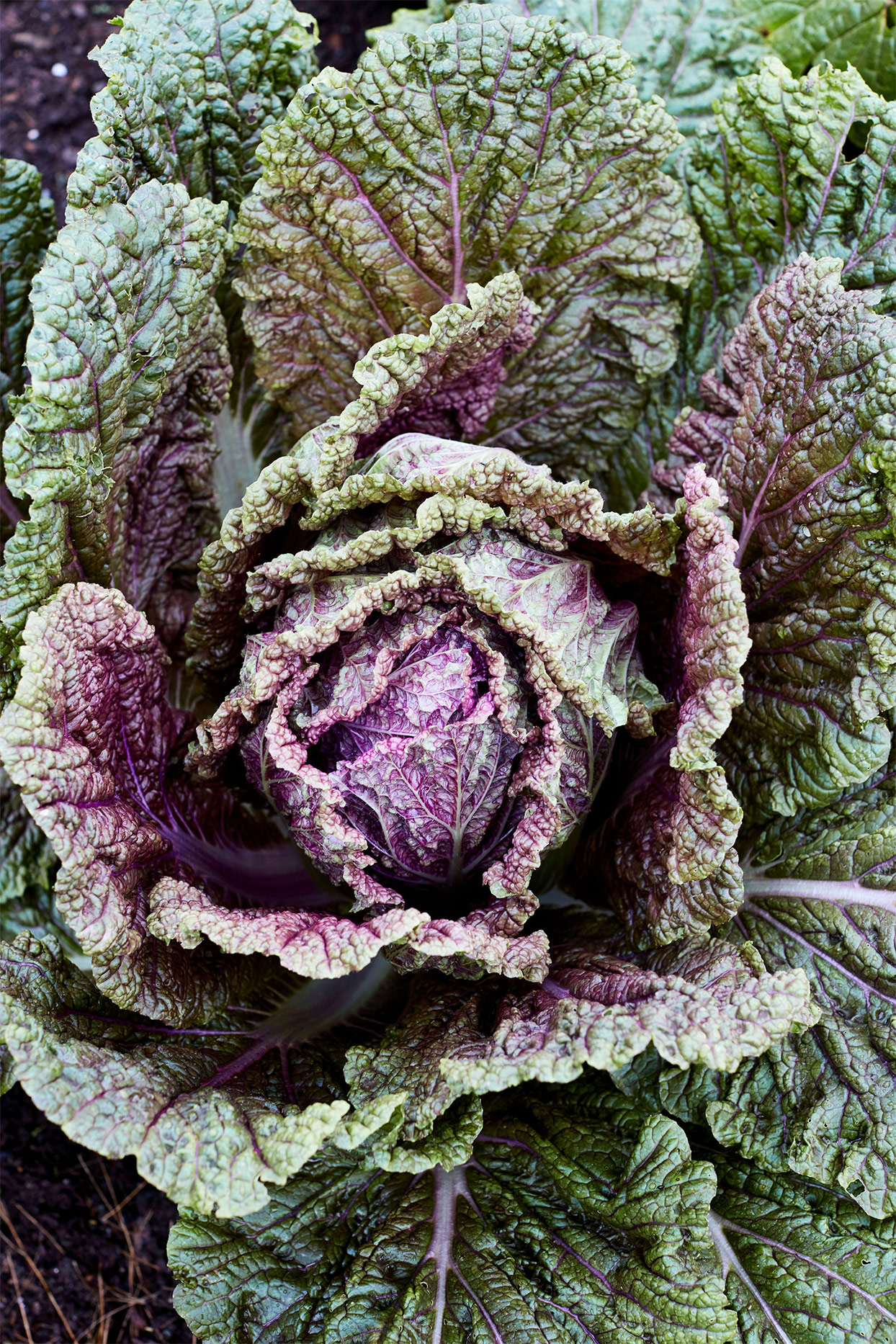 a head of red dragon cabbage