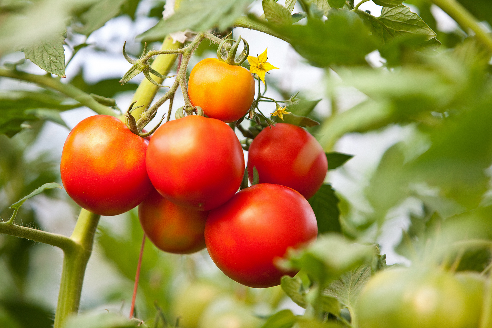 Five Mistakes You're Making with Your Tomato Plants