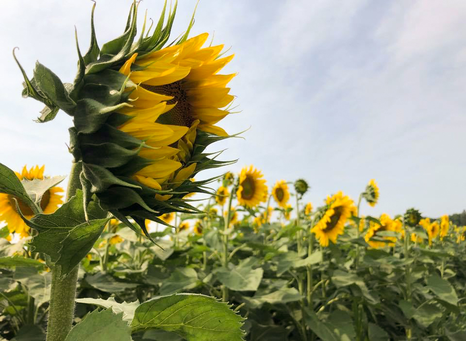 closeup view of sunflower in field