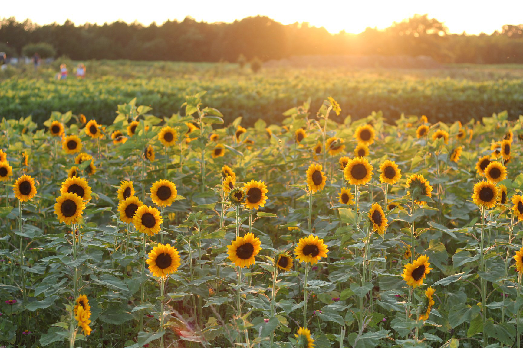 sunflowers in bloom in field at sunset