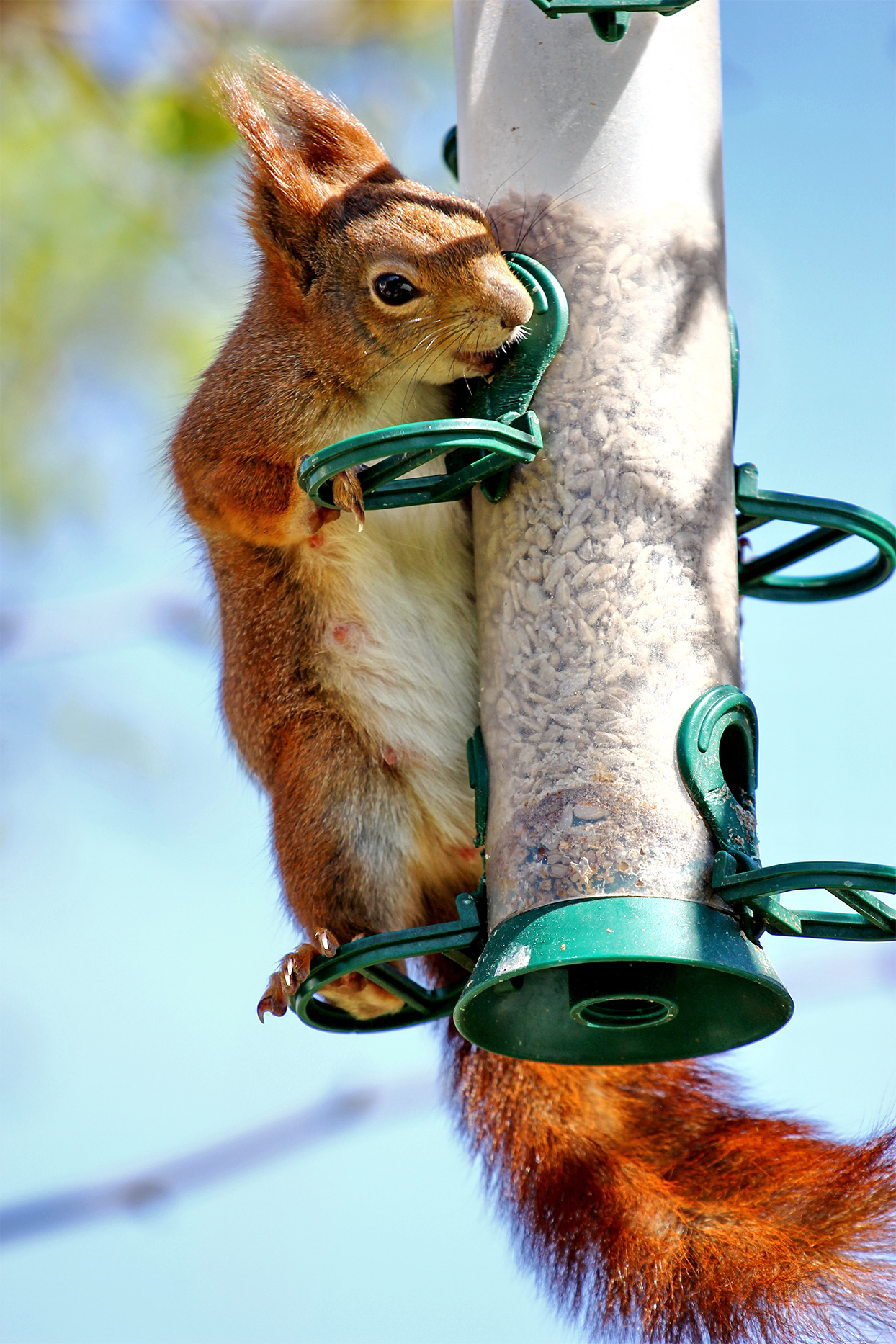 red squirrel eating from bird feeder