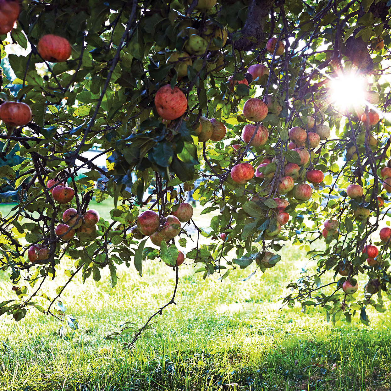 apple orchard in morning light
