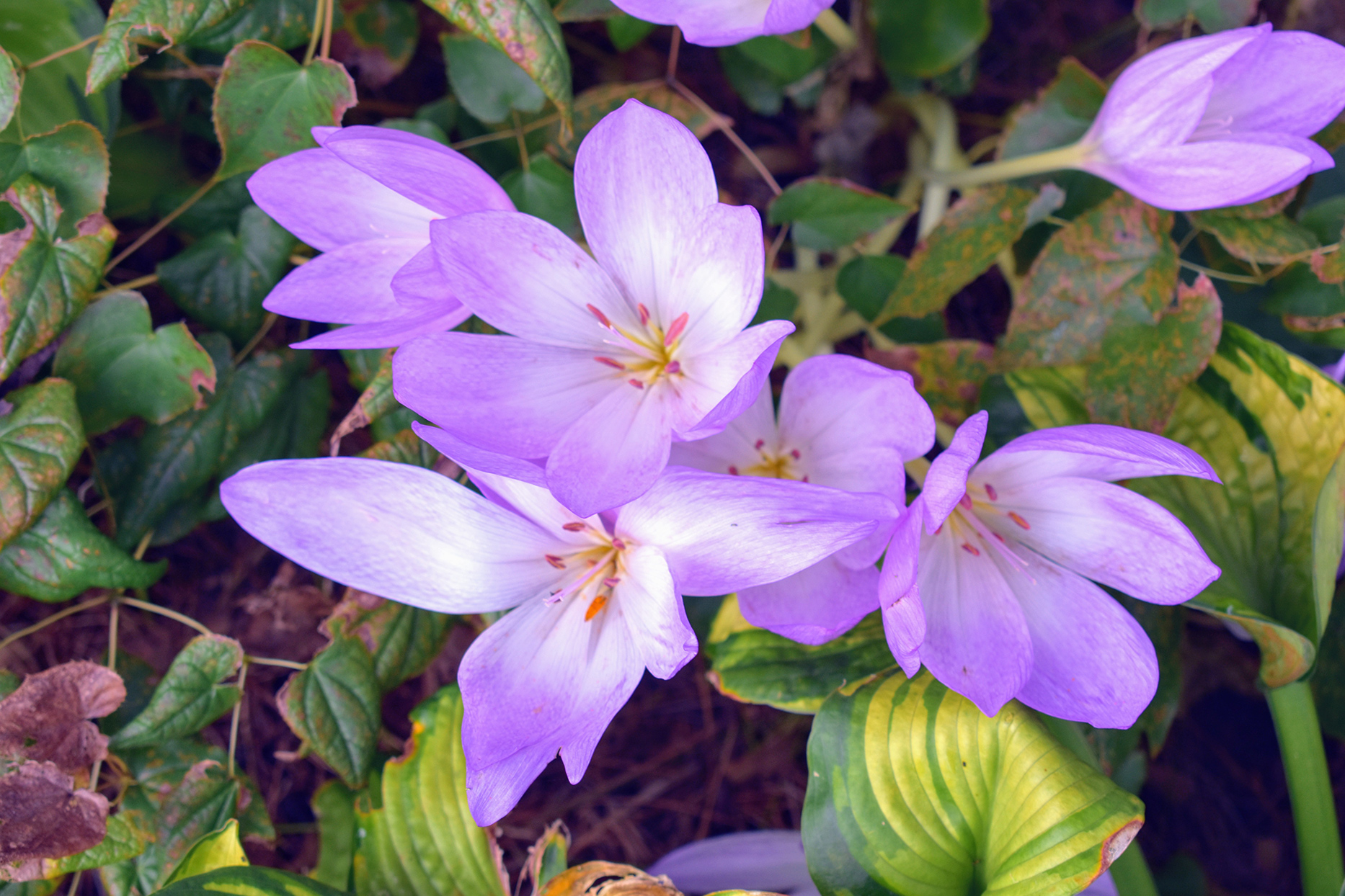 purple colchicum blooming perennial