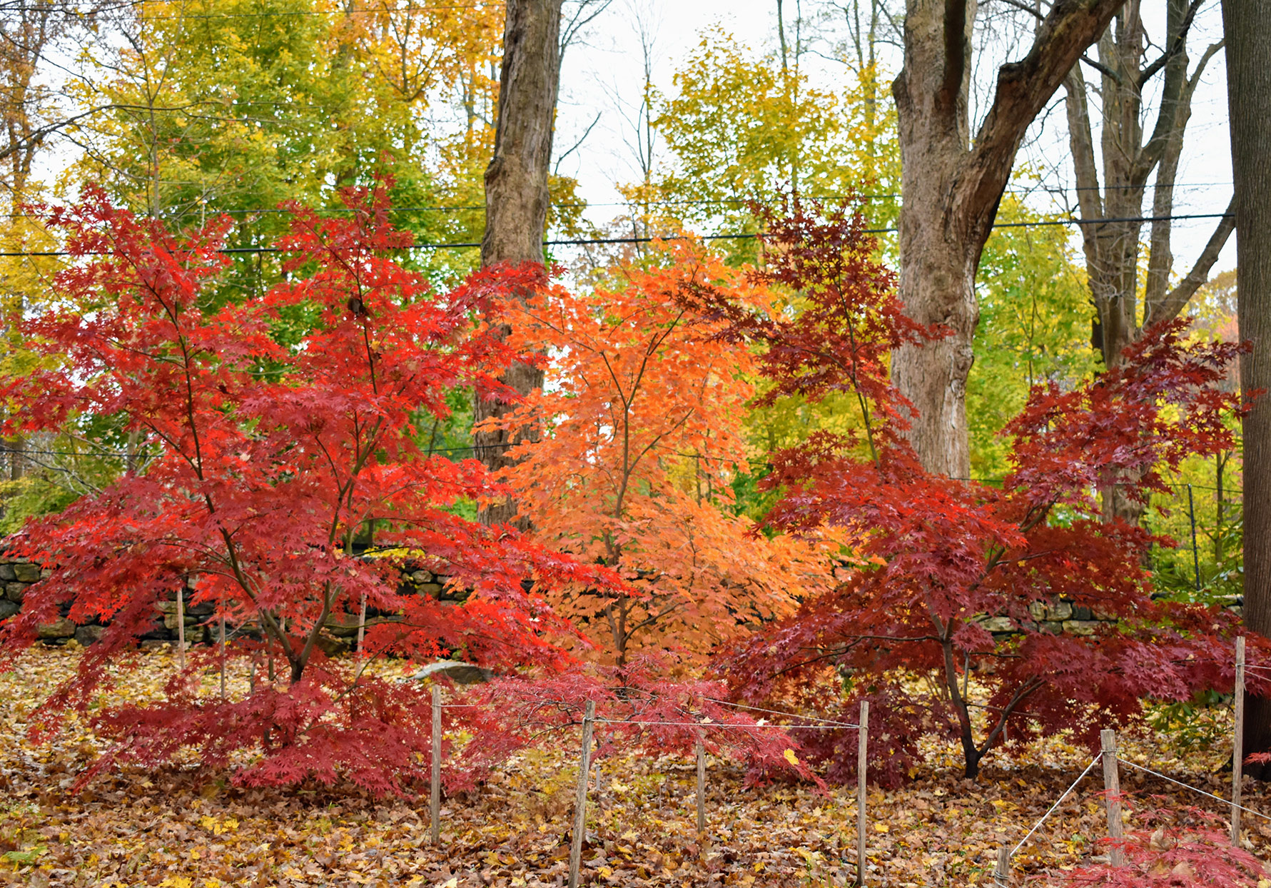 red and orange japanese maple trees