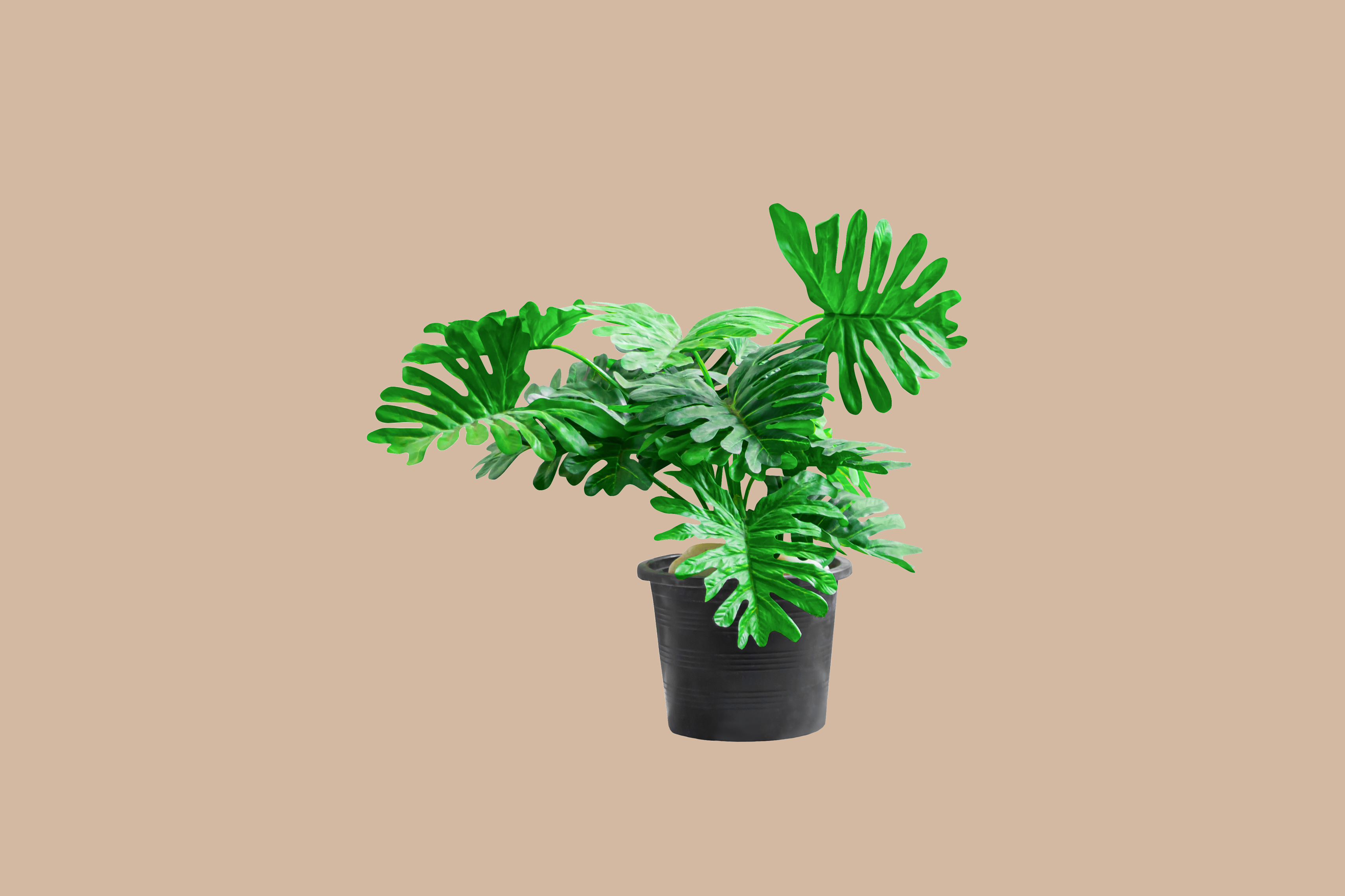 Tree philodendron in black pot