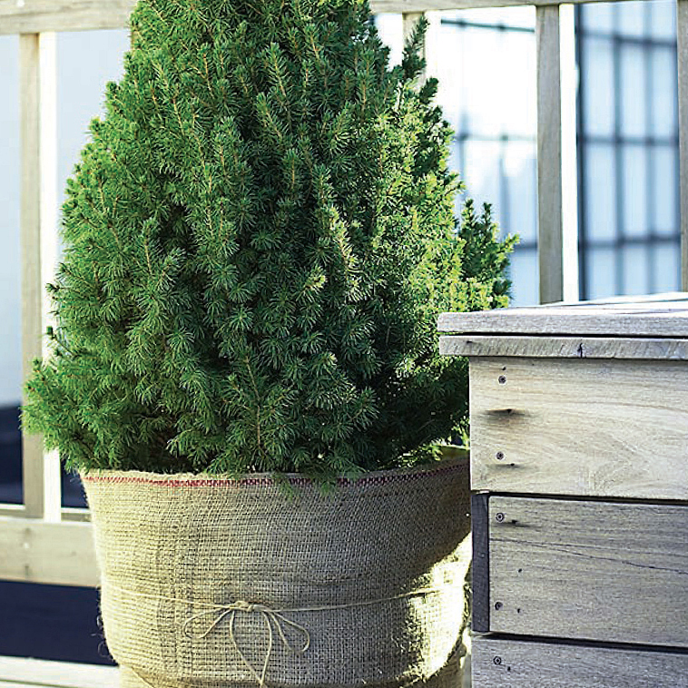 Larger evergreen shrubs and hedges may need larger solutions, so consider making your own curved tunnel or hoop house with PVC pipe to shed snow.