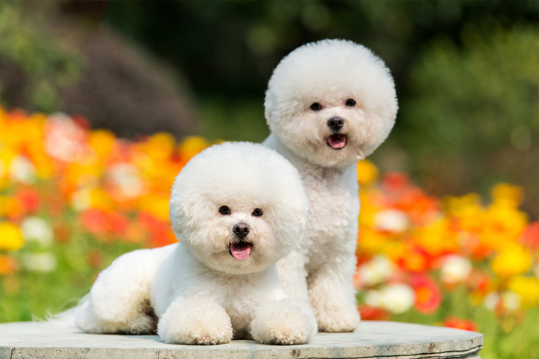 two bishon frise dogs posing on a rock