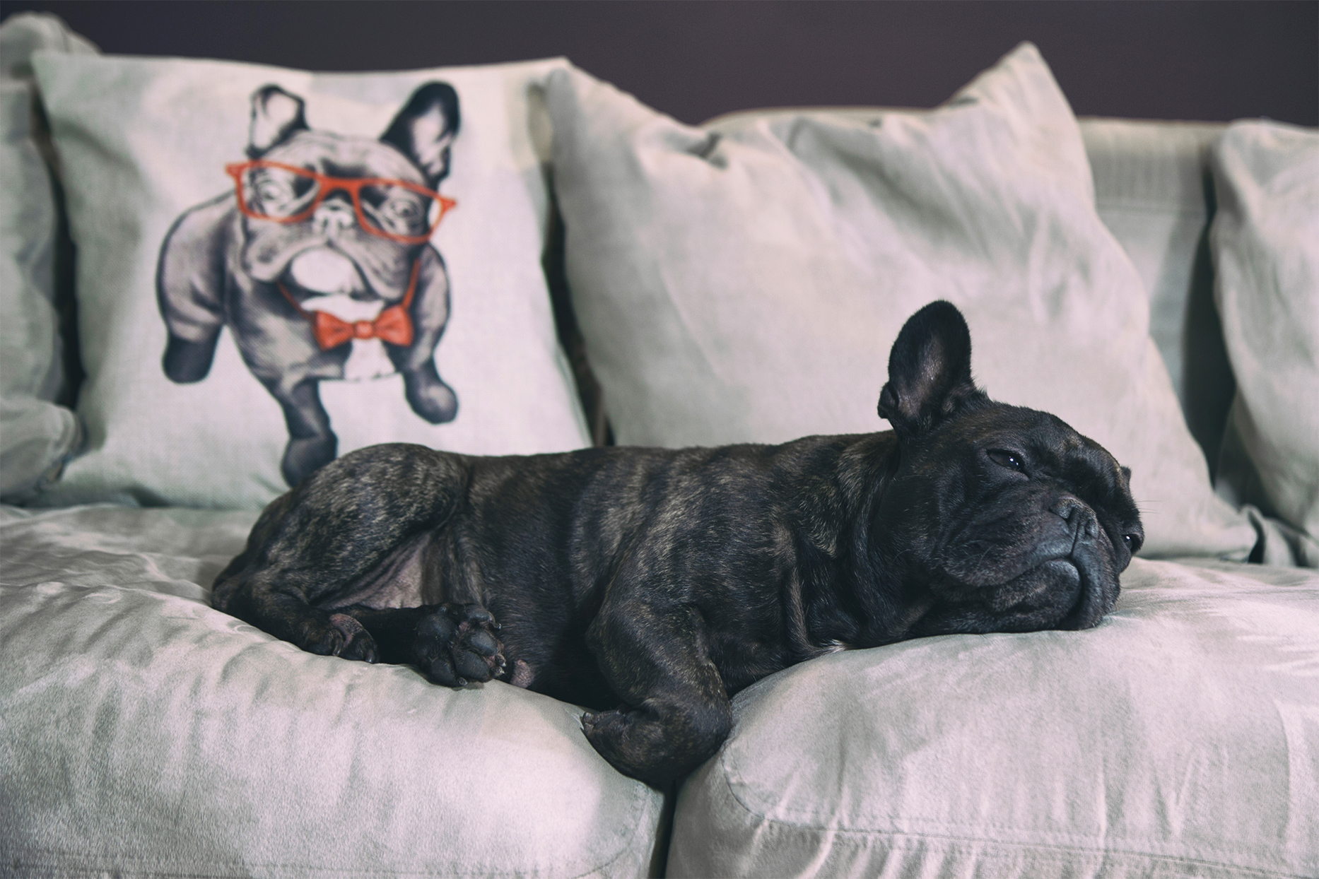 french bulldog laying on gray couch