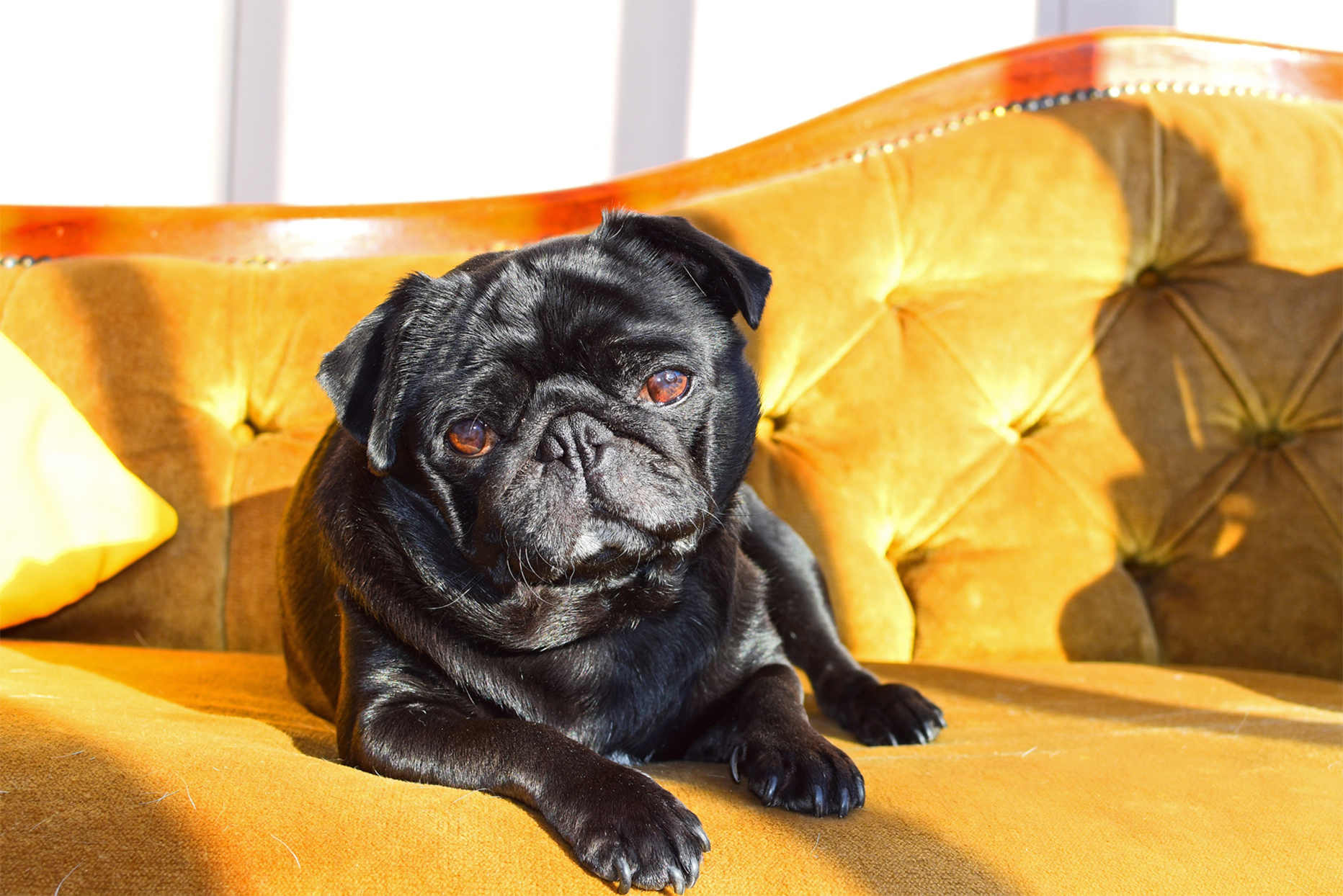 pug dog laying on gold couch