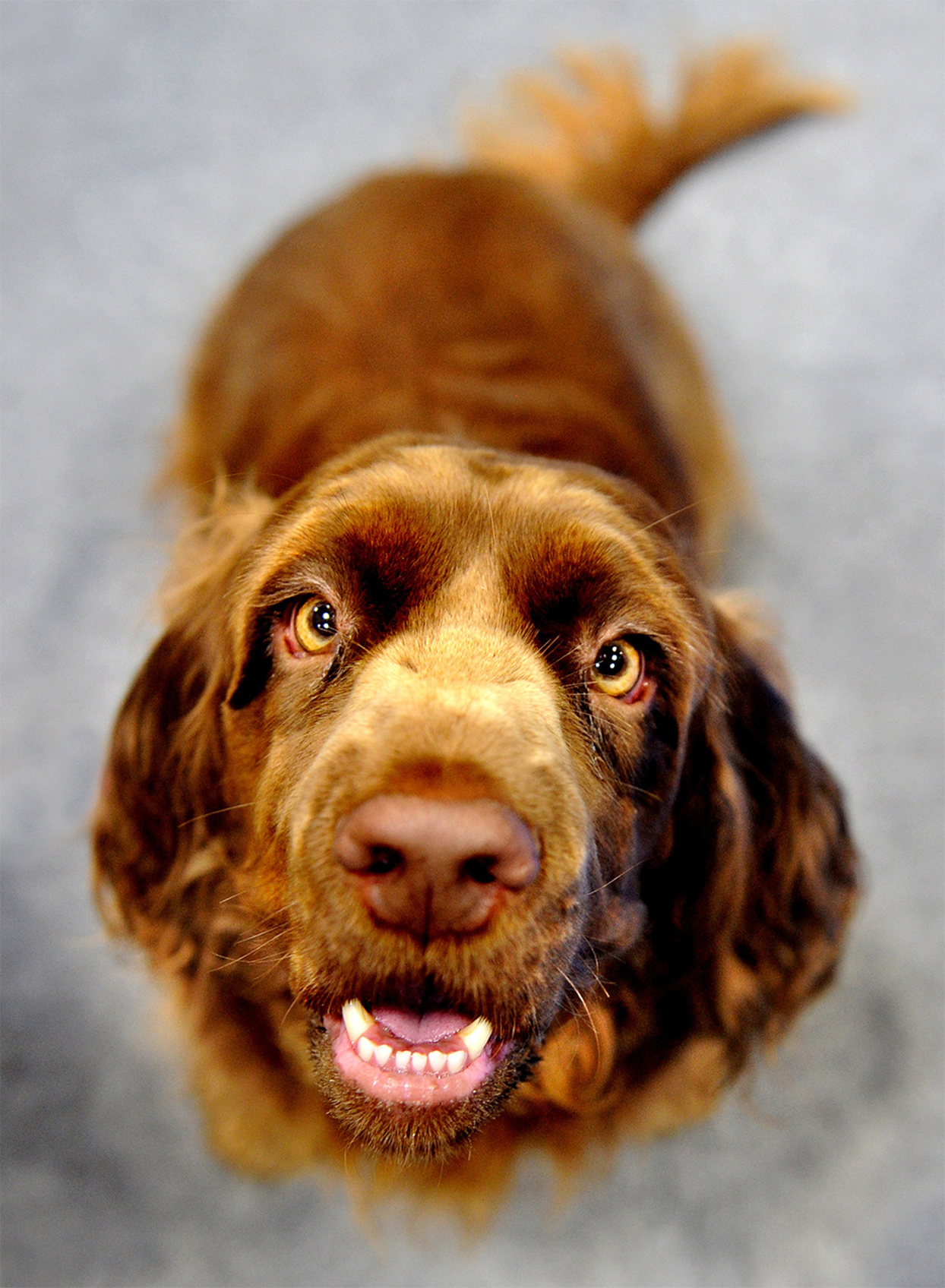 sussex spaniel dog looking up