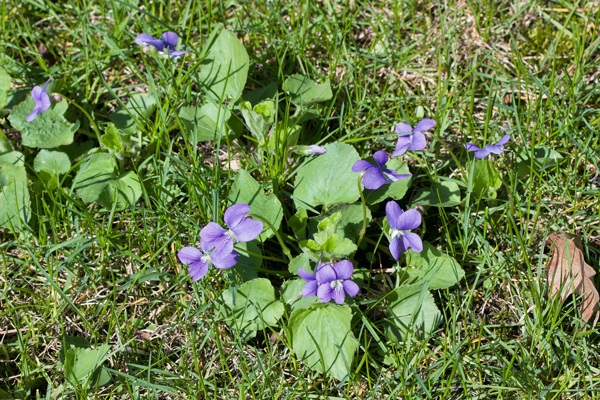 Violet Illinois State Flower