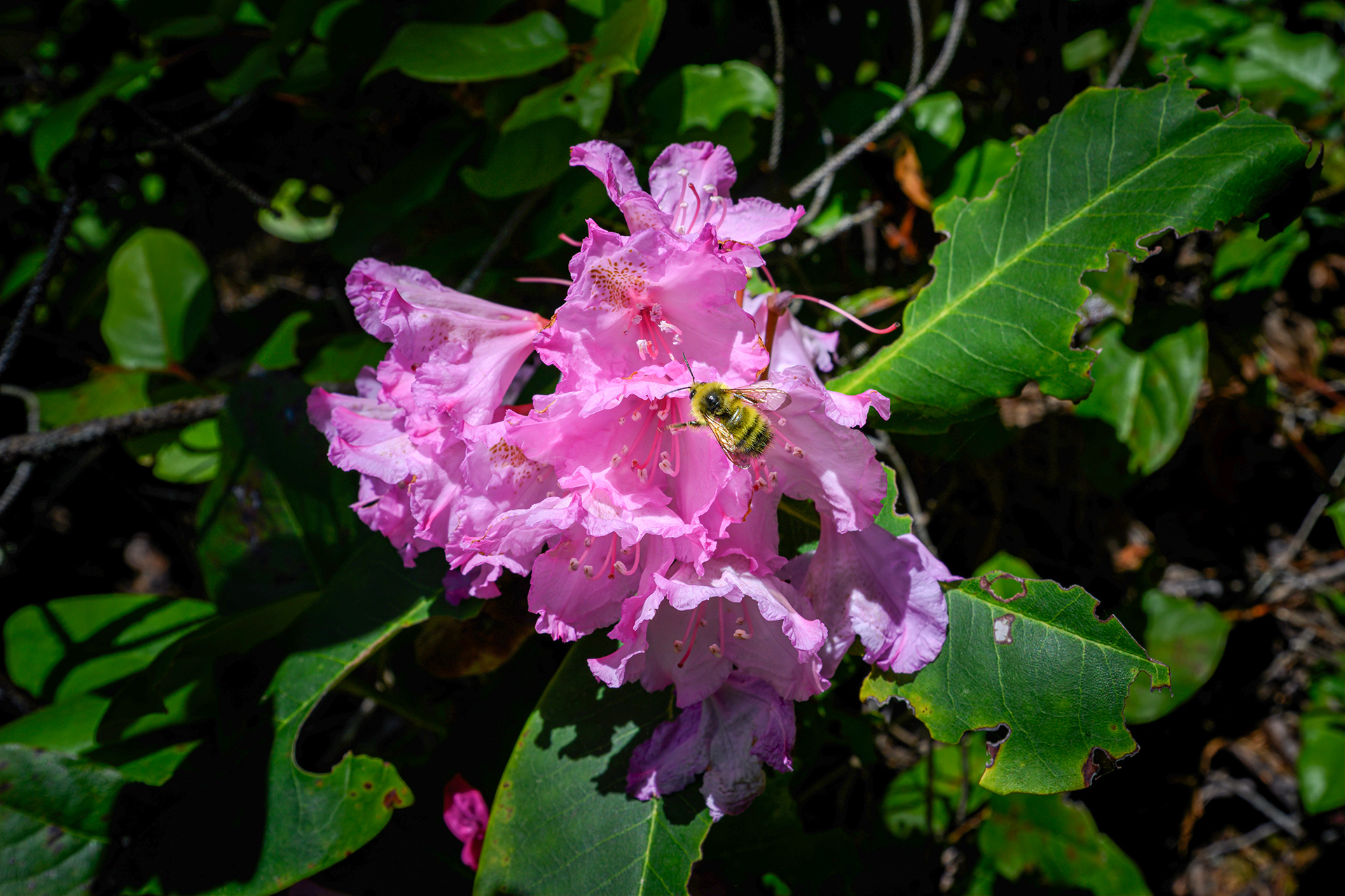 Coast rhododendron bee