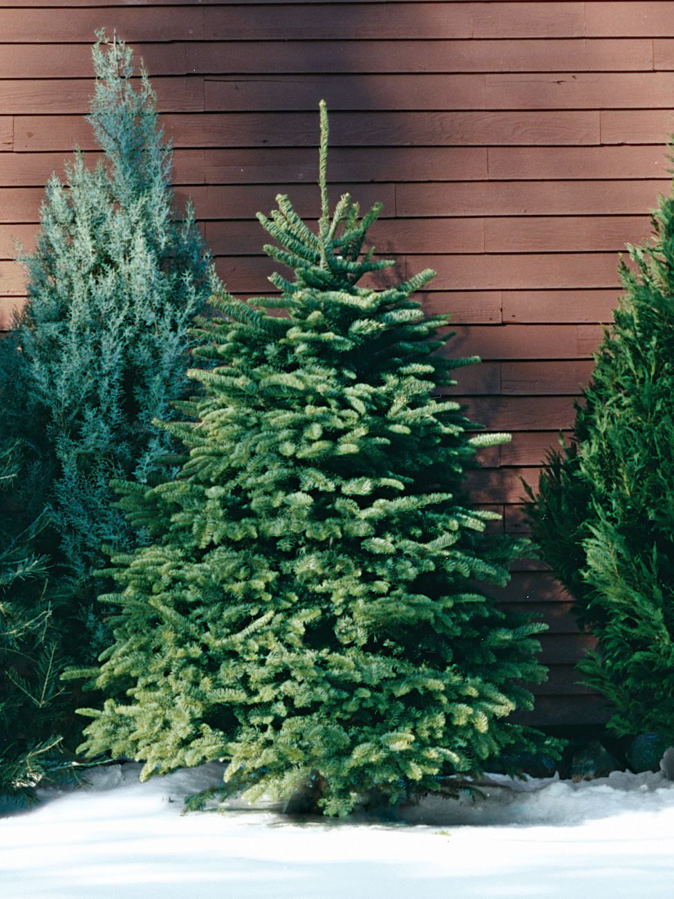 Diffe Types Of Christmas Trees
