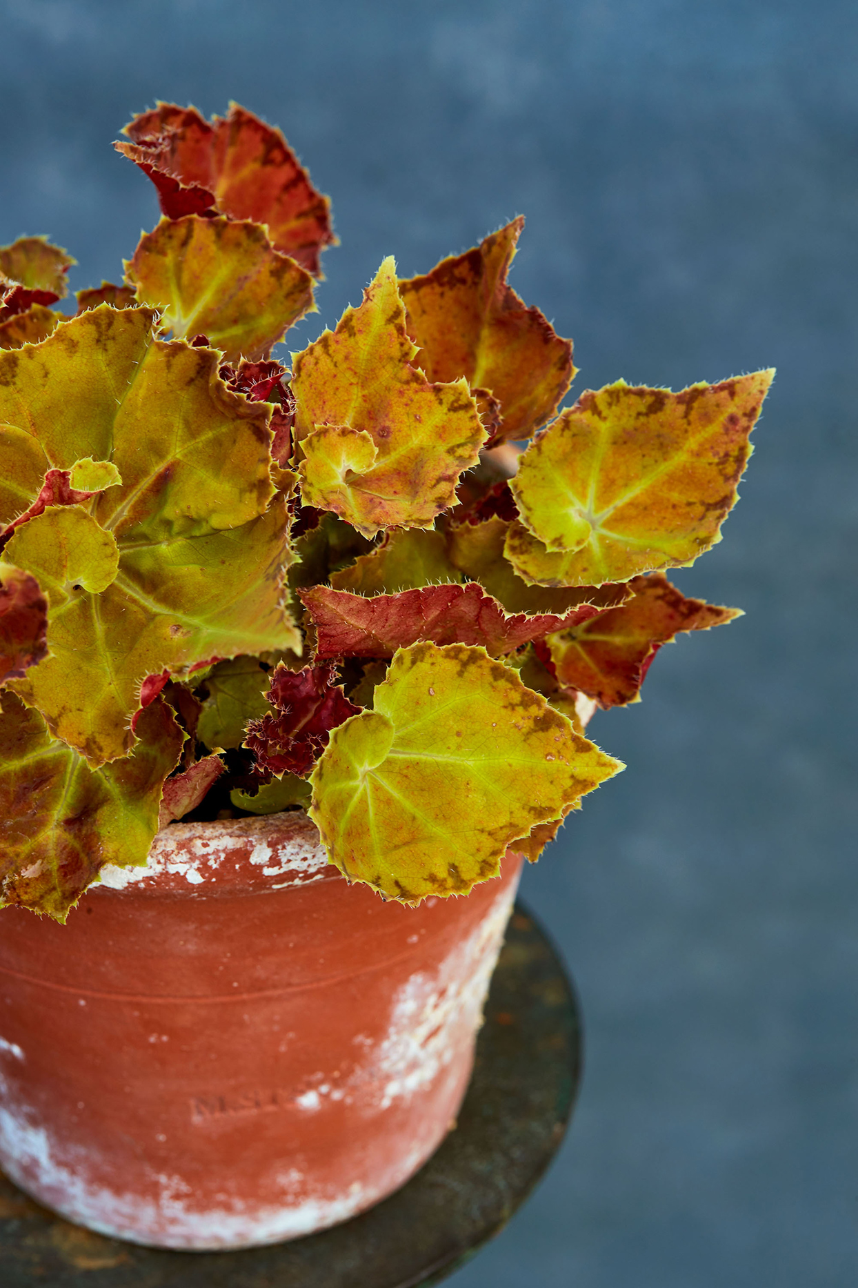 begonia plant in red pot
