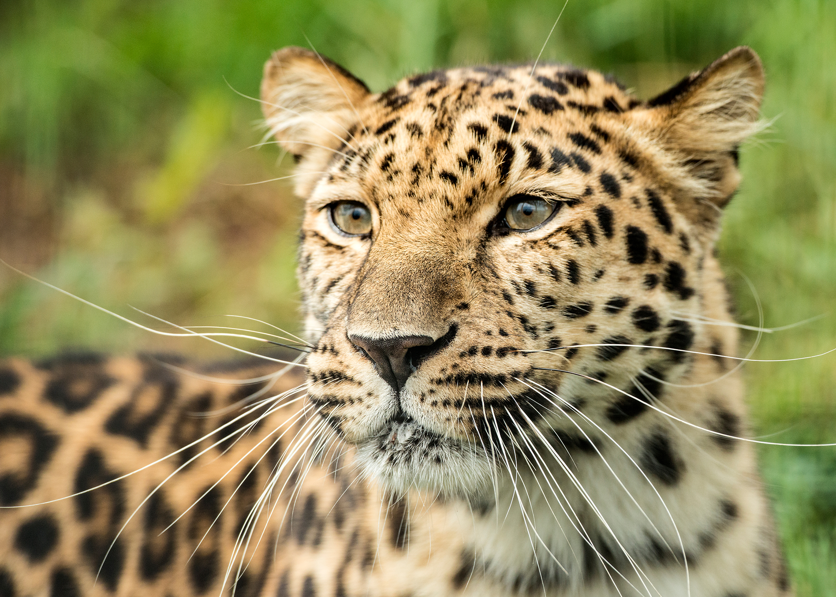 Amur Leopard in Forest