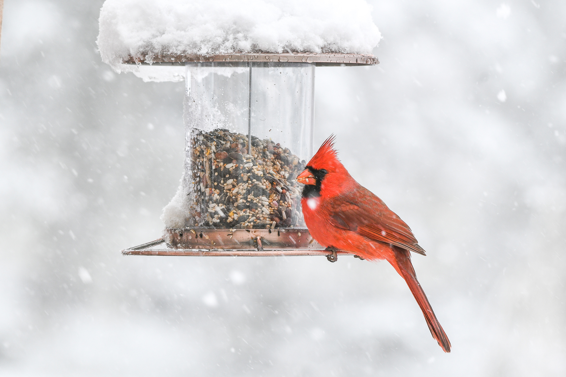 cardinal perched on bird feeder in snow