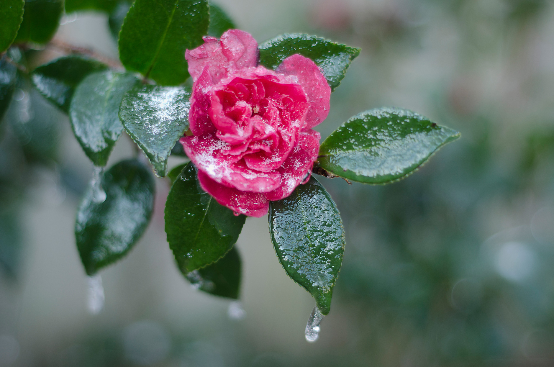 ice-covered pink camellia flower