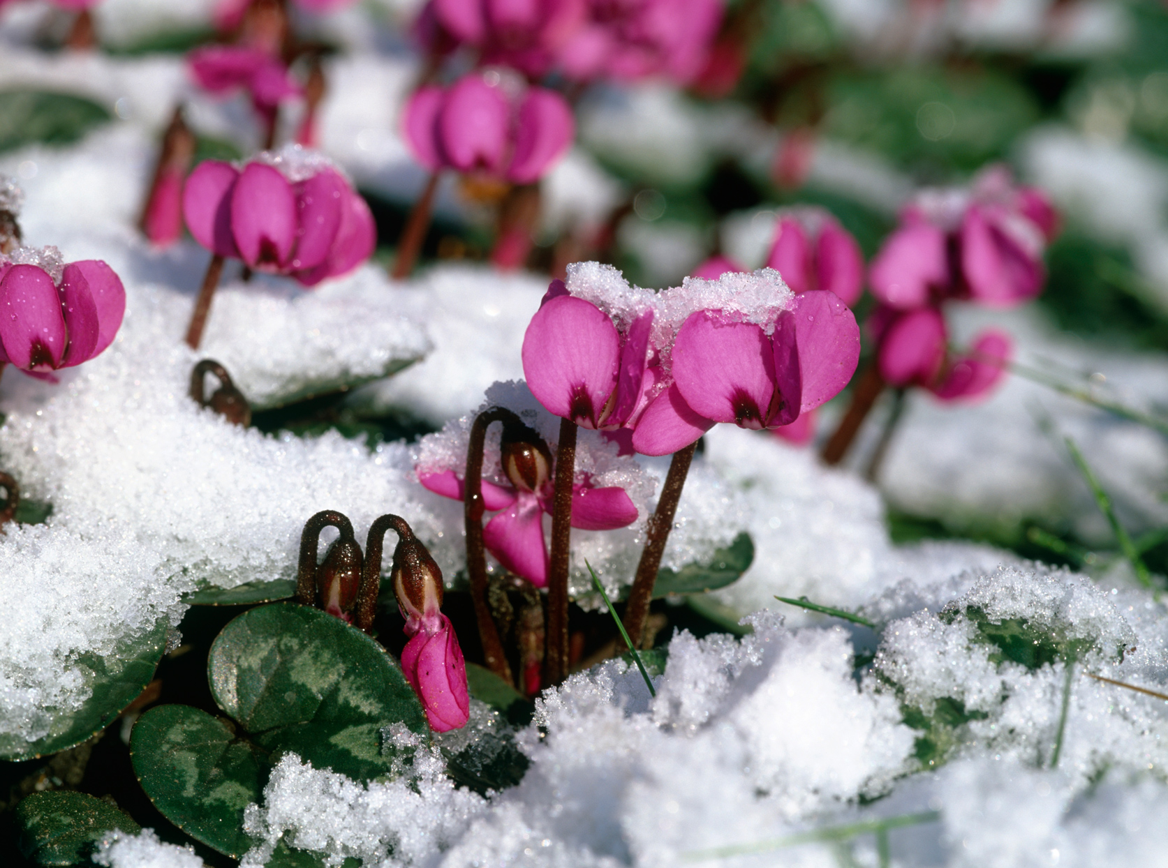 snow-covered cyclamen flowers