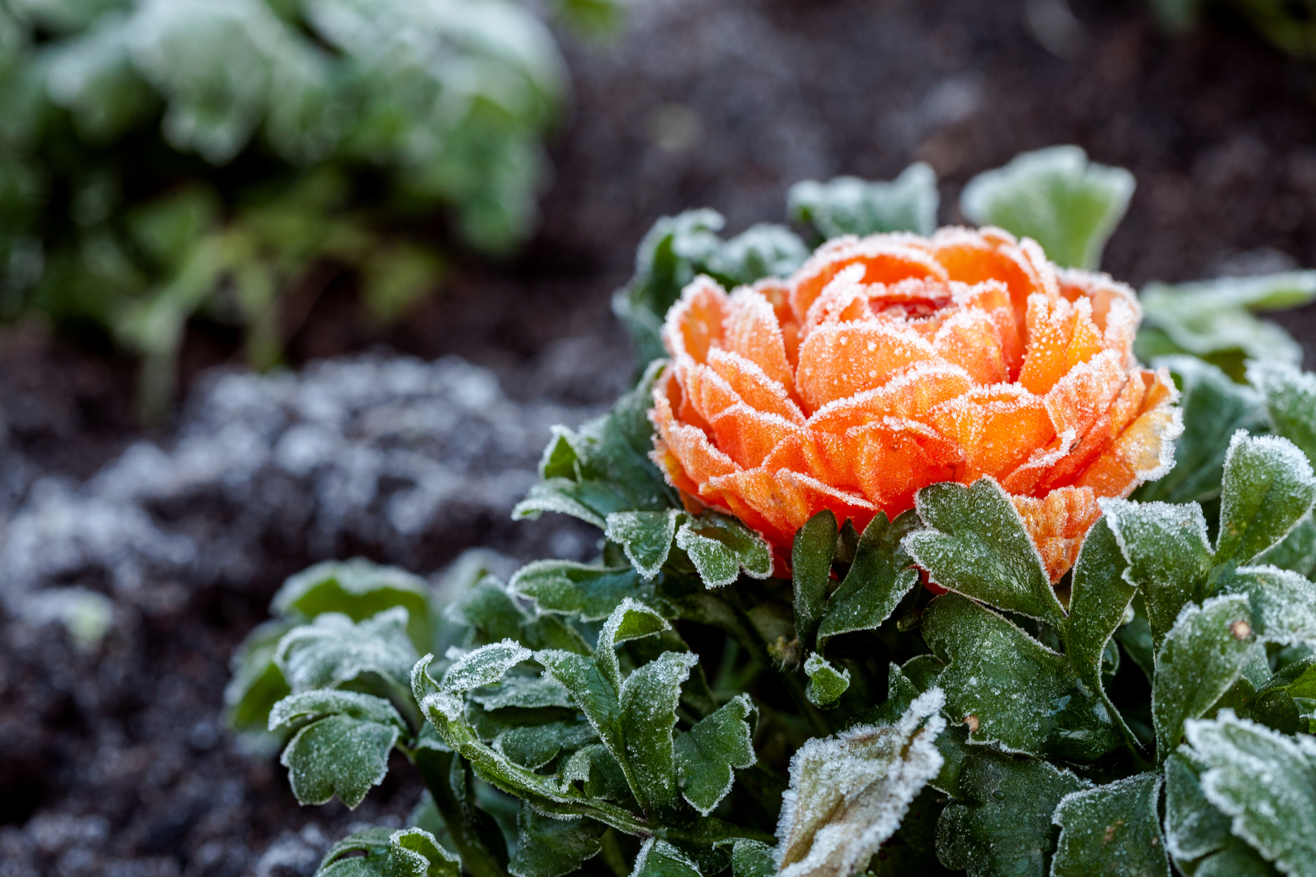 frost-covered orange rose
