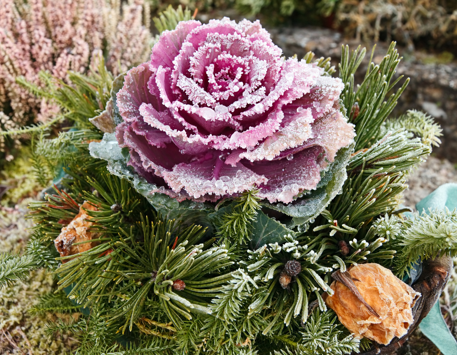 frost-covered ornamental cabbage