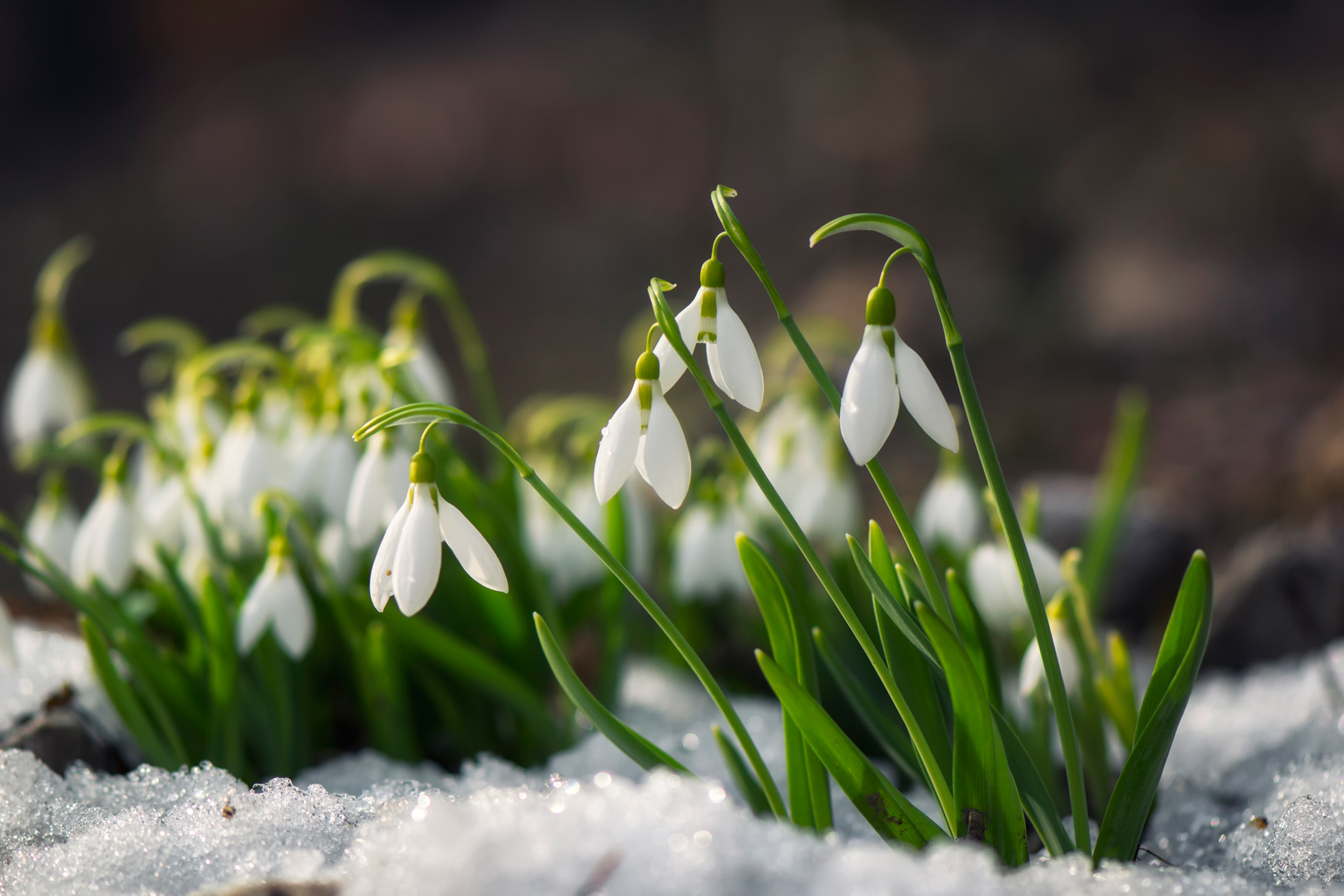 snow-covered snowdrop flowers