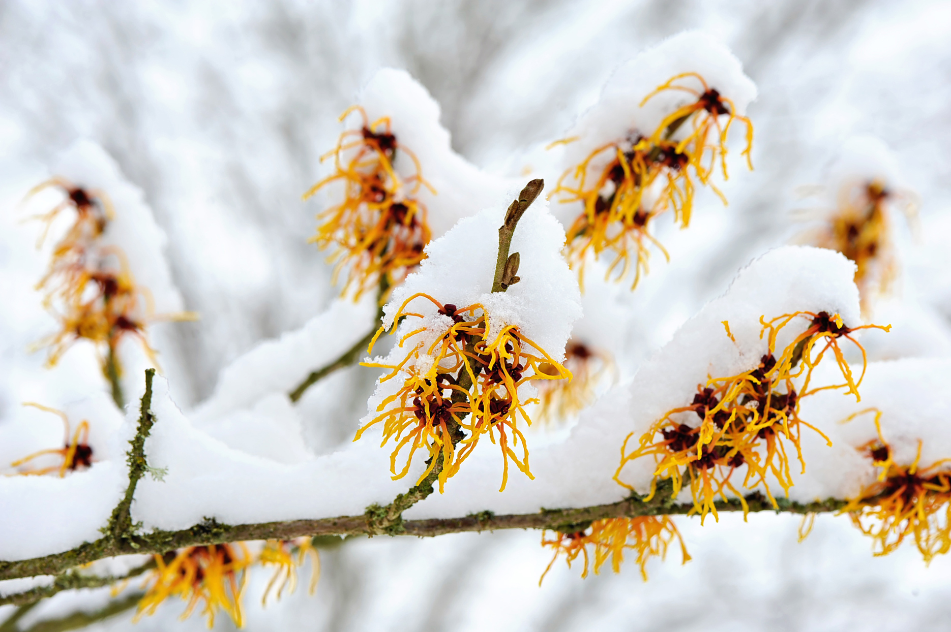 snow-covered witch hazel branches