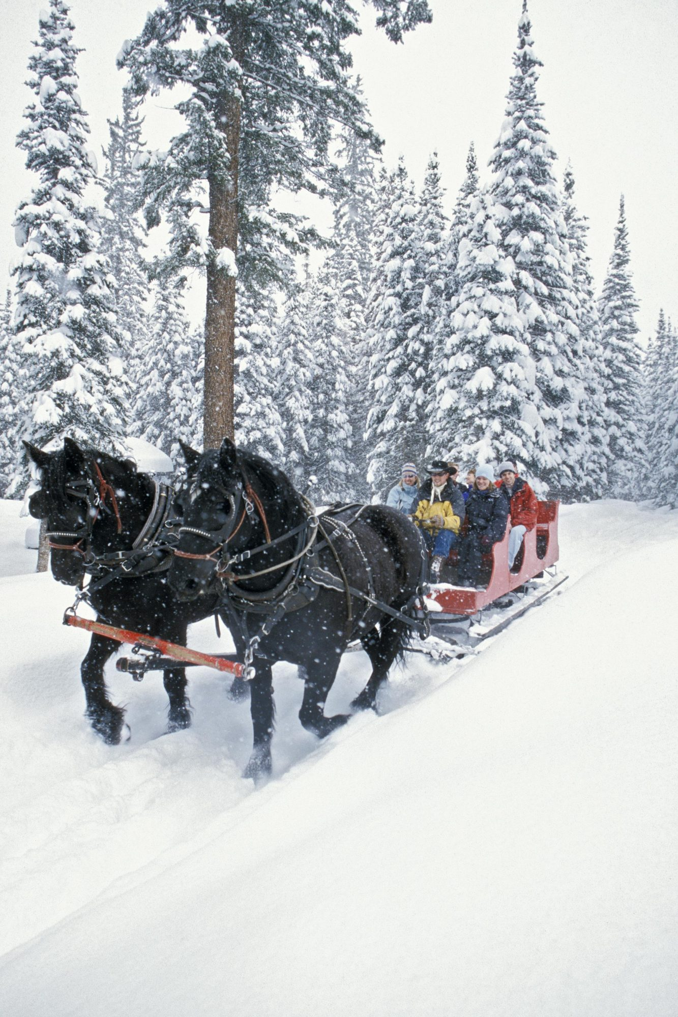 horses pulling sleigh in the snow near wooded area