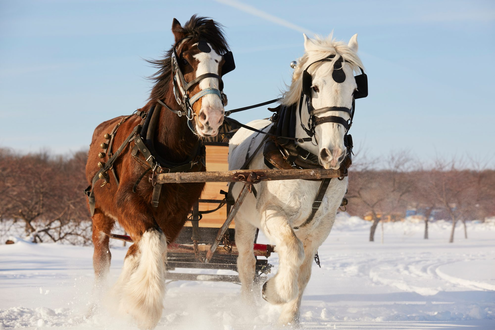 horses pulling sleigh in the snow