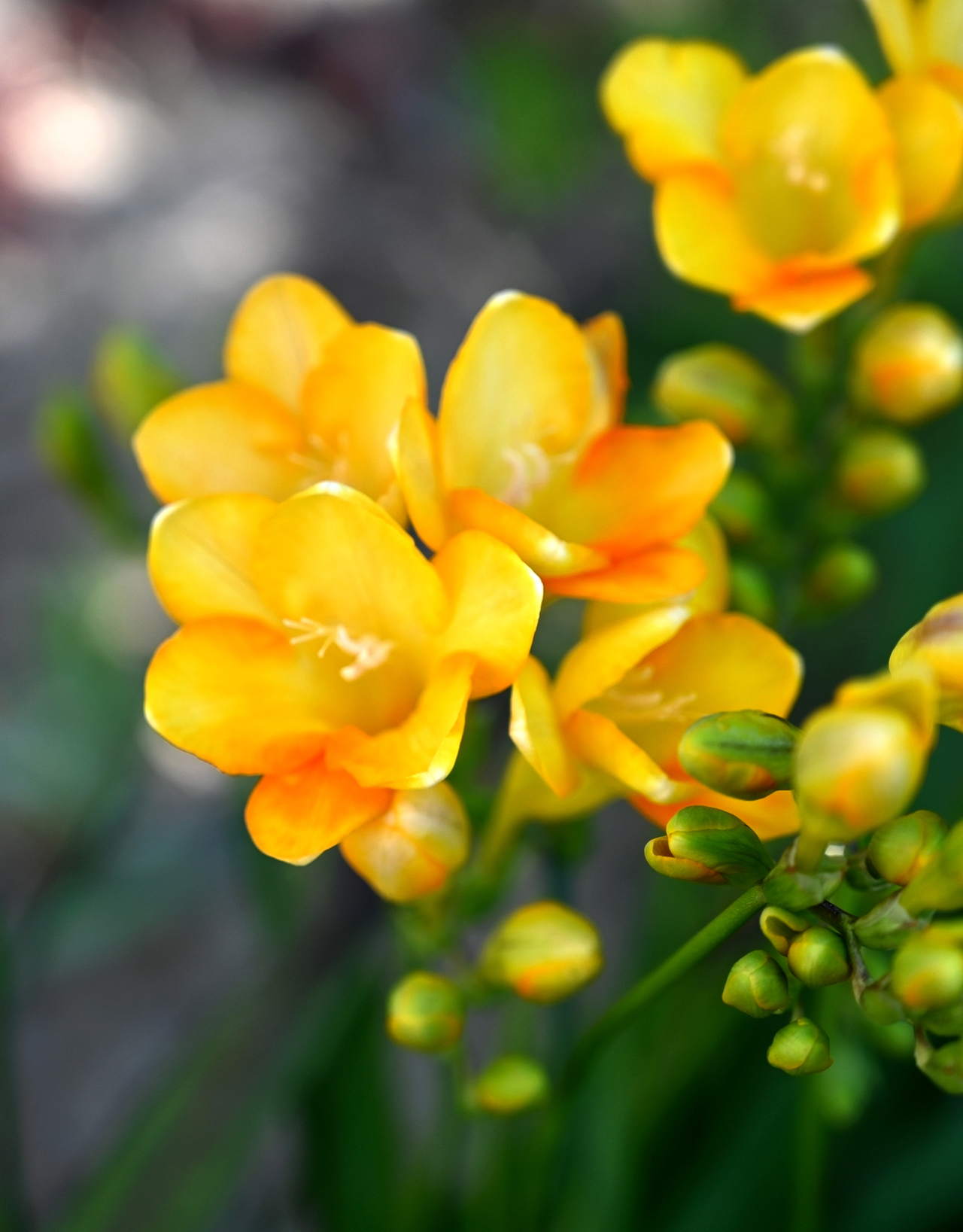 Freesia bell shaped flowers