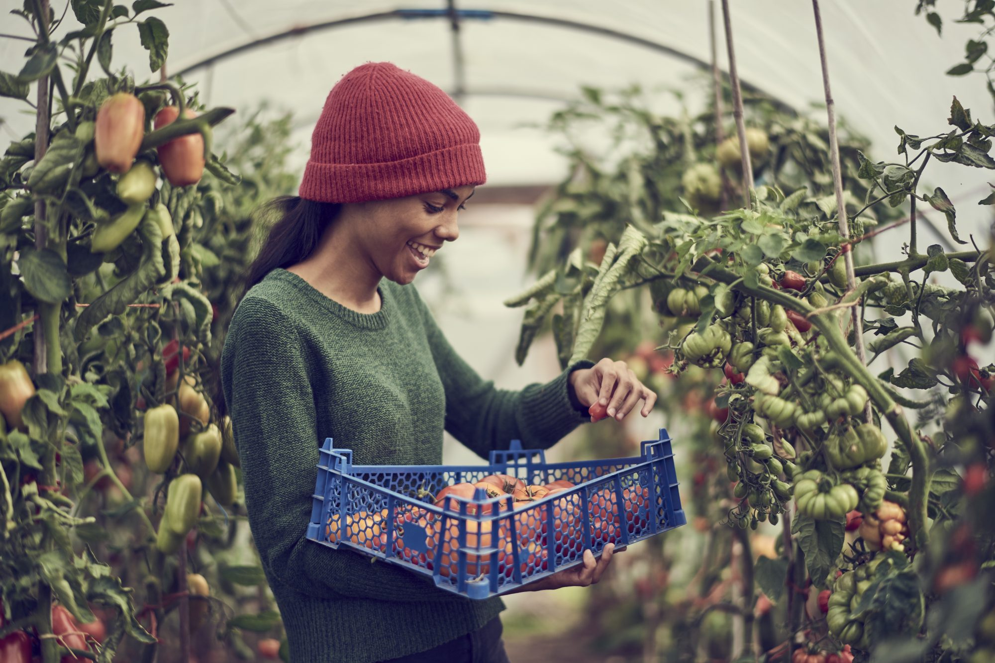 Young black female collecting vine tomatoes from community allotment