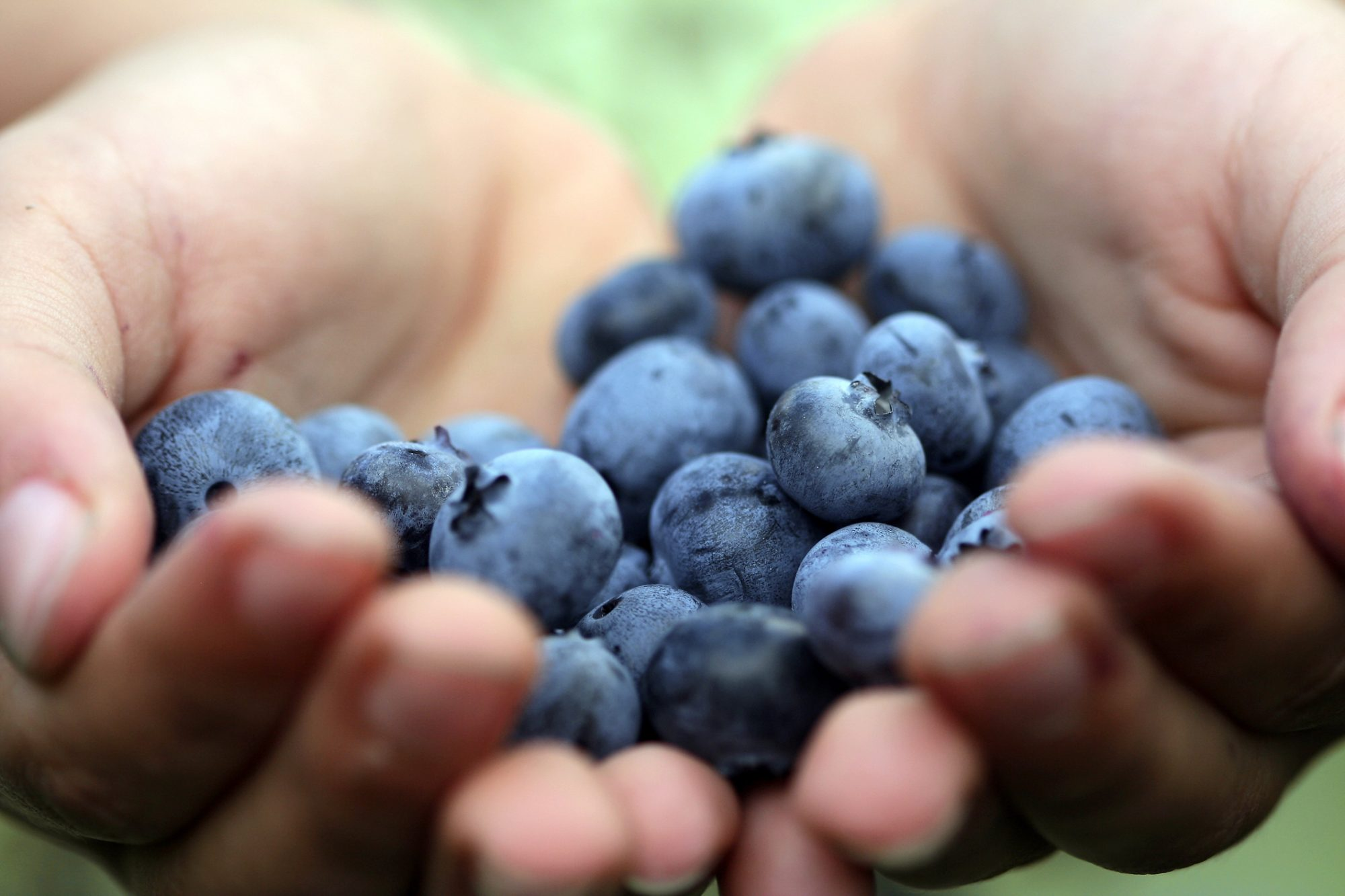 detail of hands holding blueberries