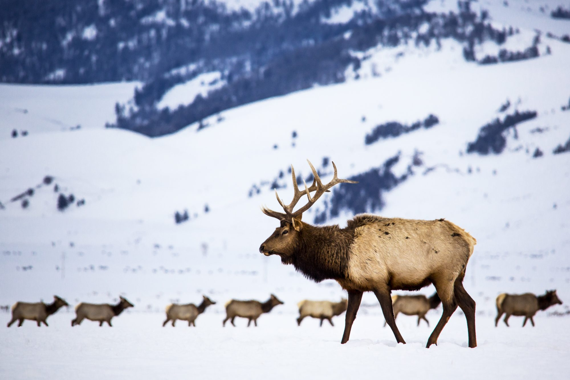 bull elk walking in the snow