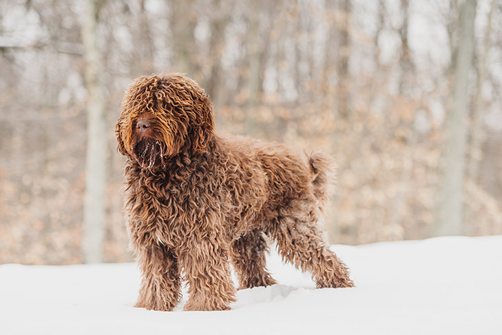 barbet dog breed in snow