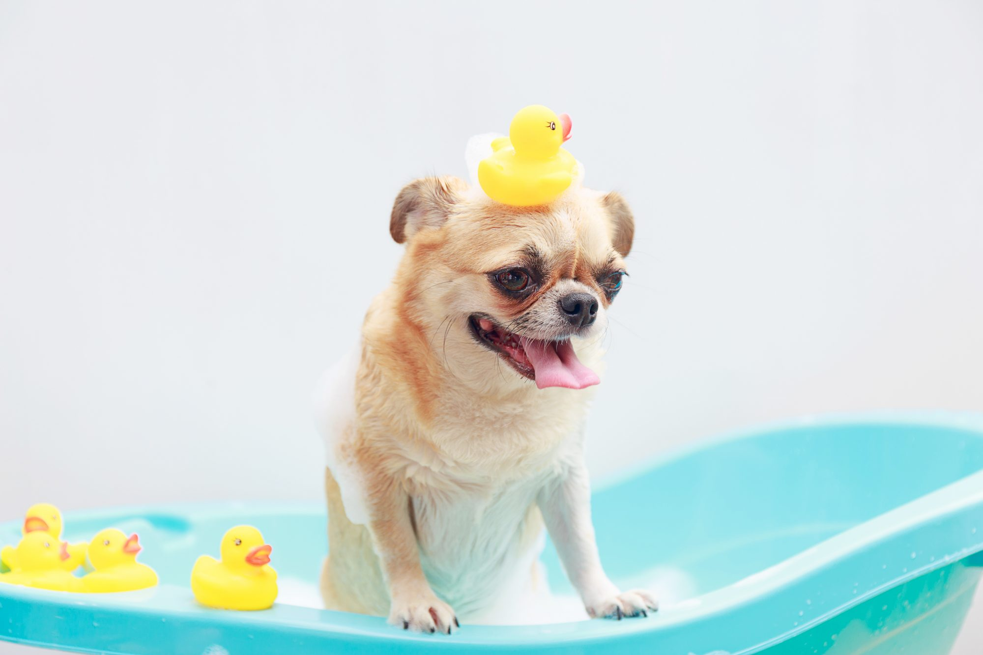 Chihuahua dog taking a shower with duck toys in blue bucket