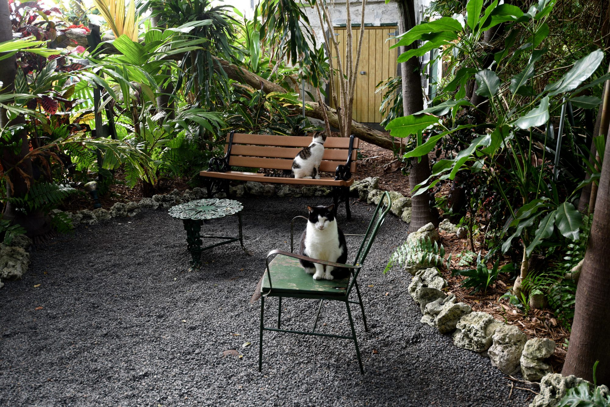 Two of the eighty polydactyl (six-toed) cats, which live in Ernest Hemingway's Home and Museum