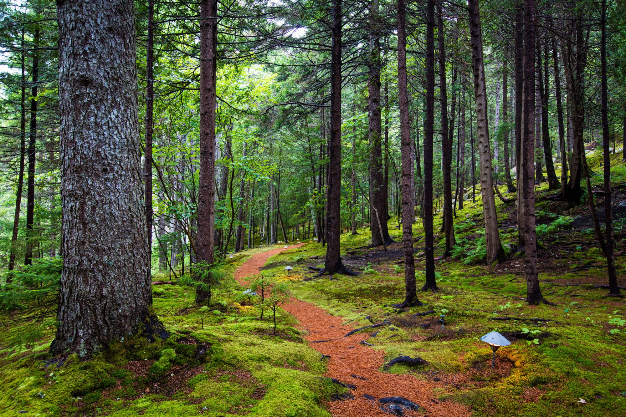white-pine needle path in mossy forest