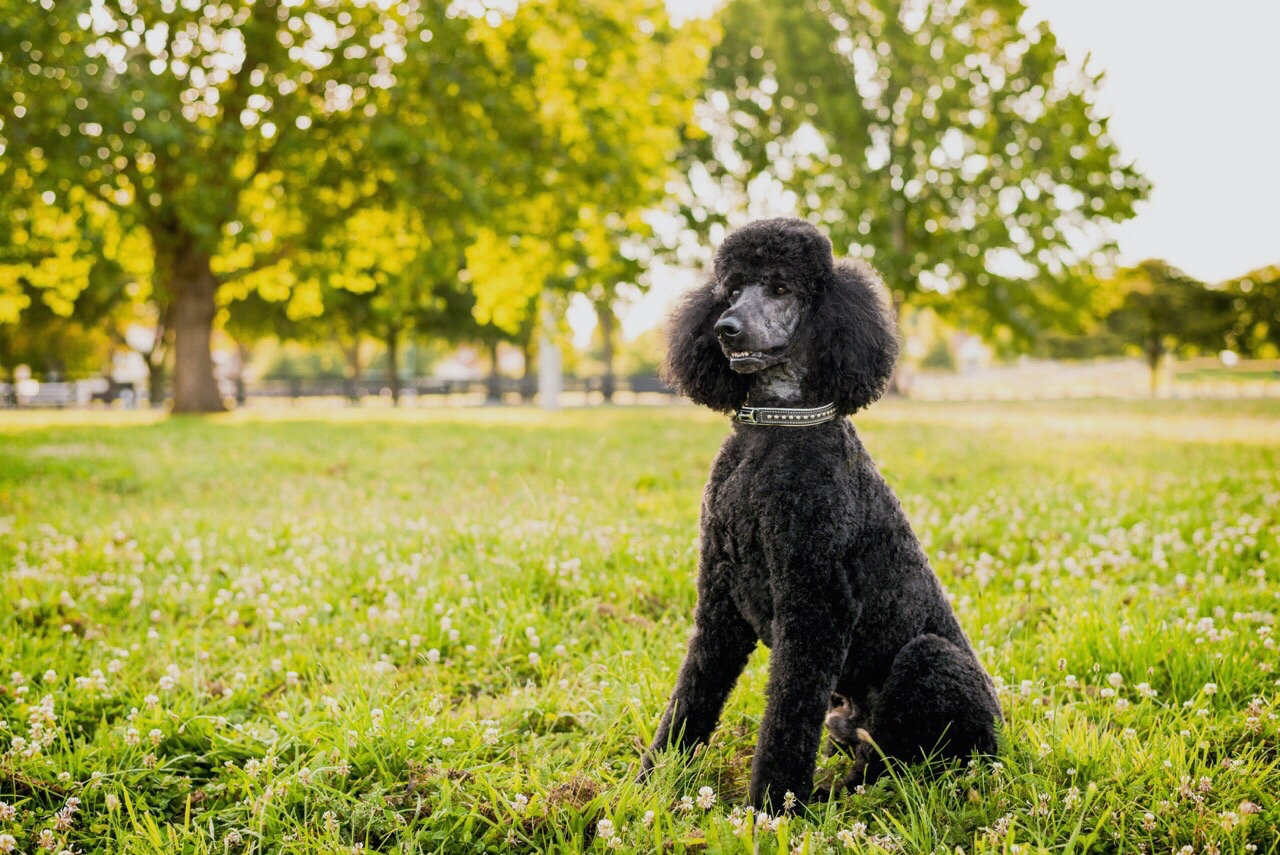 Poodle sitting outdoors in grass