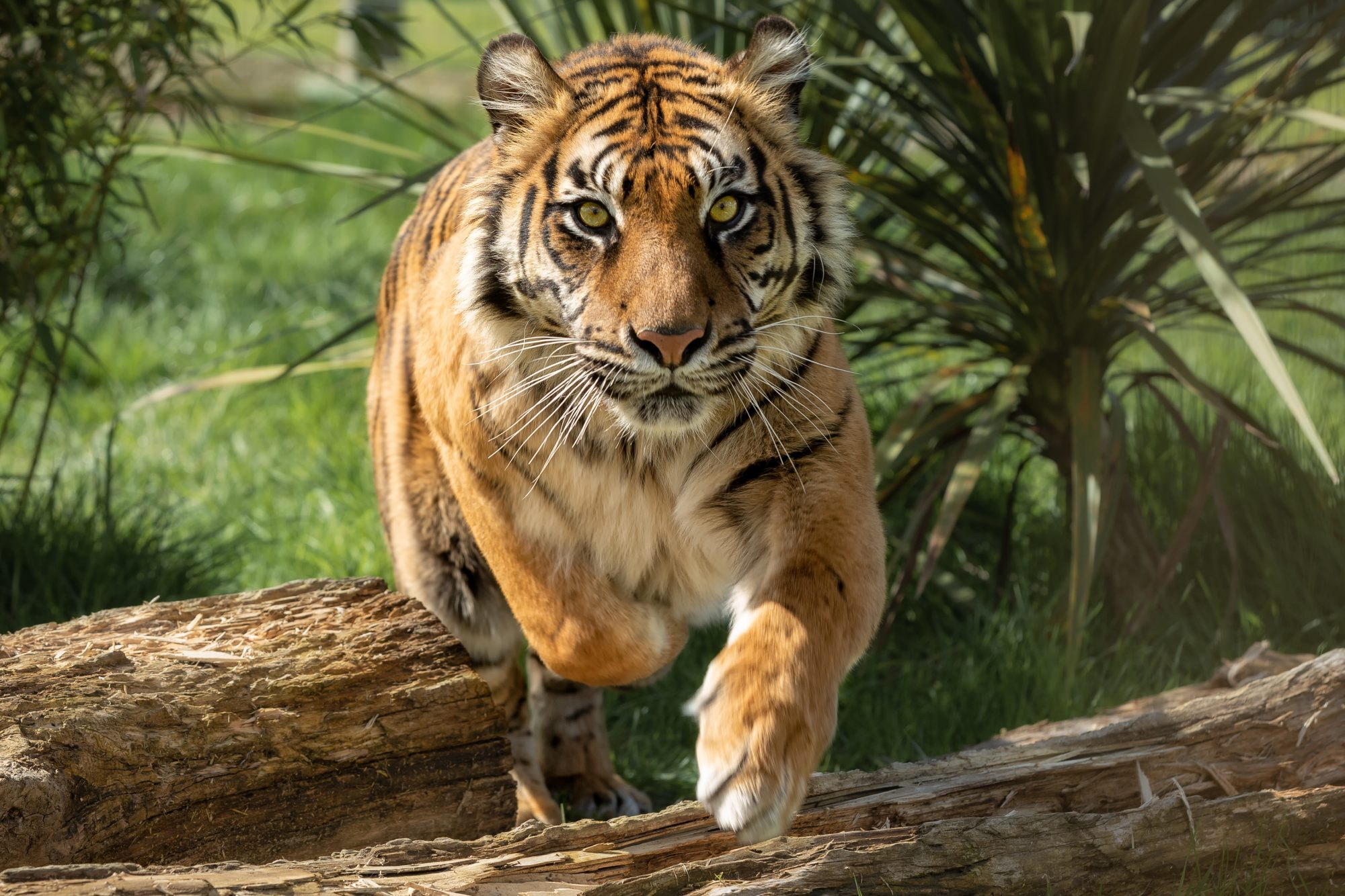 Big Cats Love Perfume, Zookeepers Say